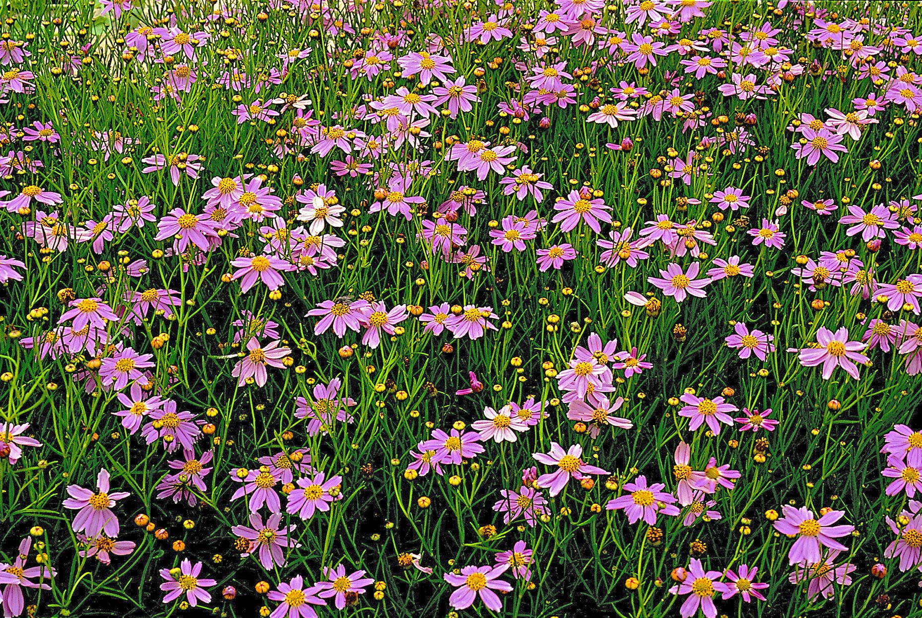 pink coreopsis rosea blossoms