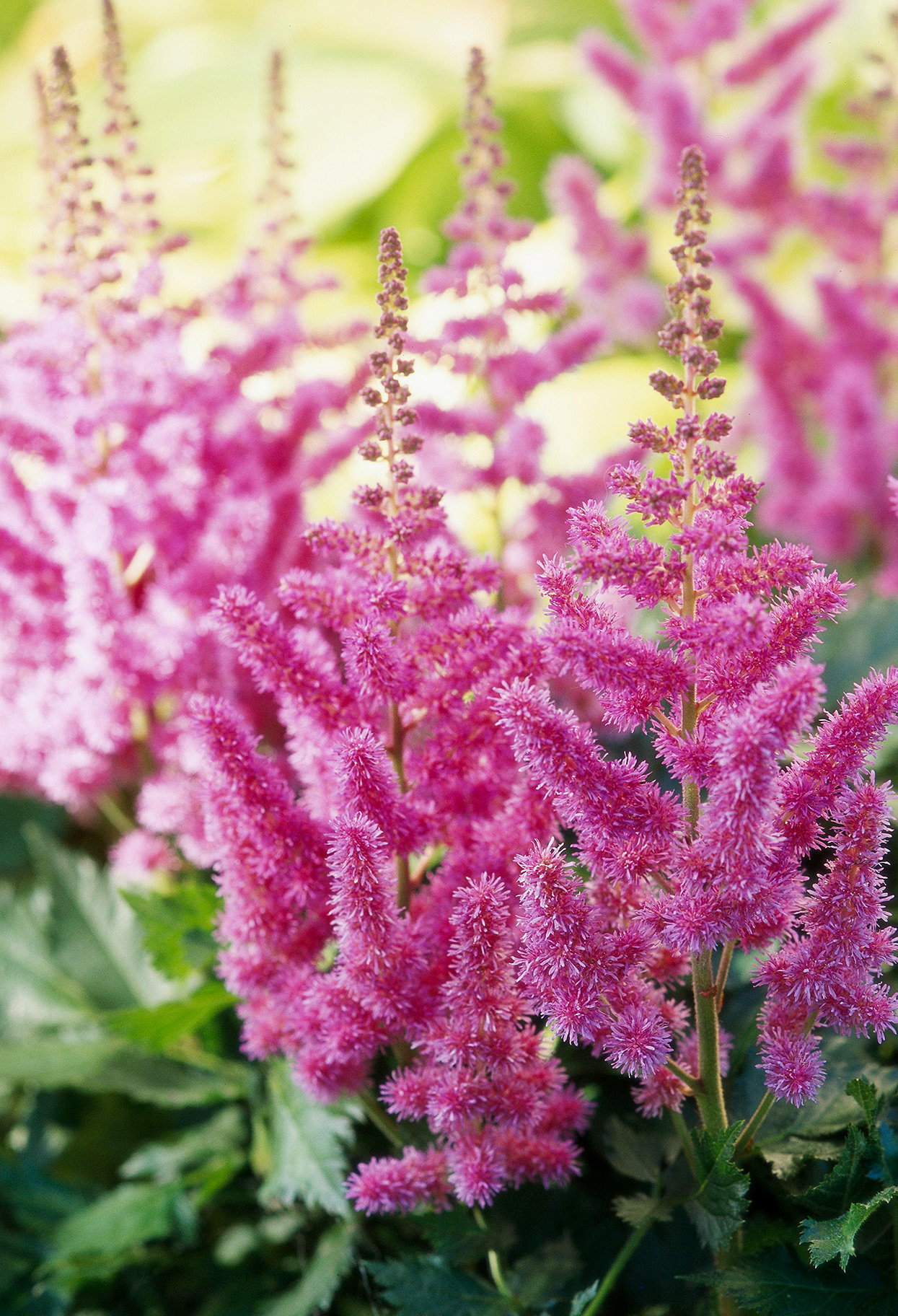 pink feathery astilbe perennial plumes