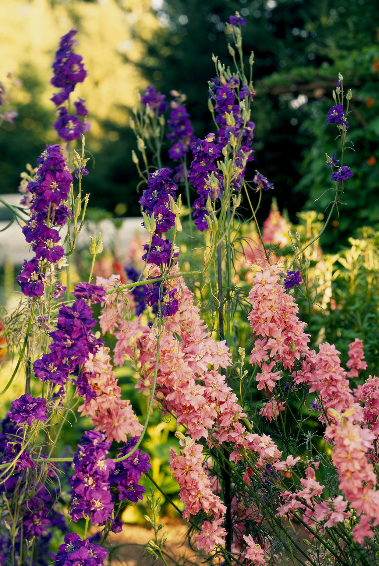Purple and pink 'Imperial' larkspur