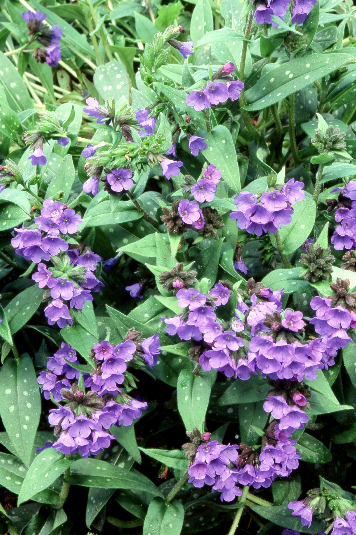 Purple Lungwort