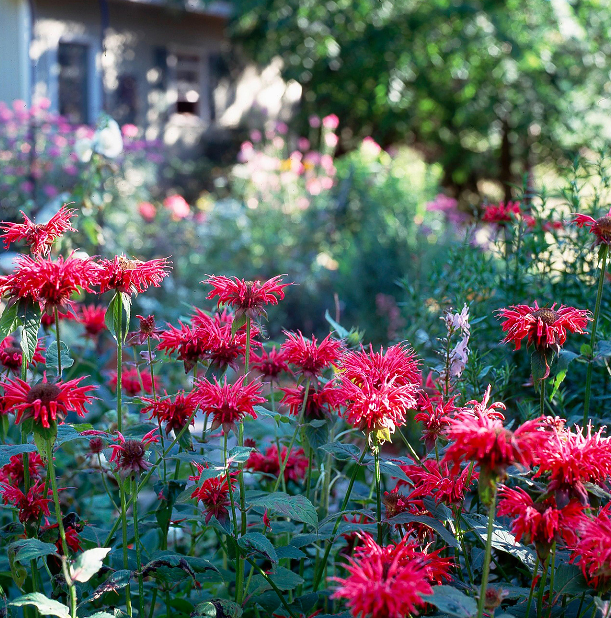 red bee balm plants