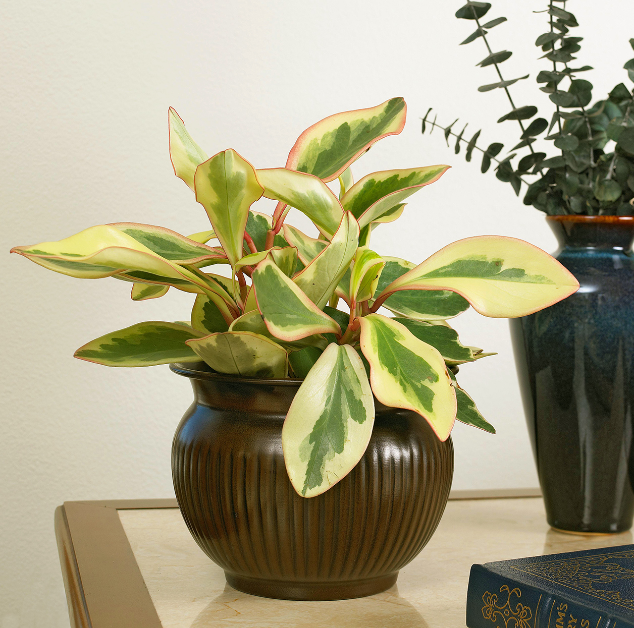 red-edge peperomia clusifolia 'rainbow' with cream and green leaves