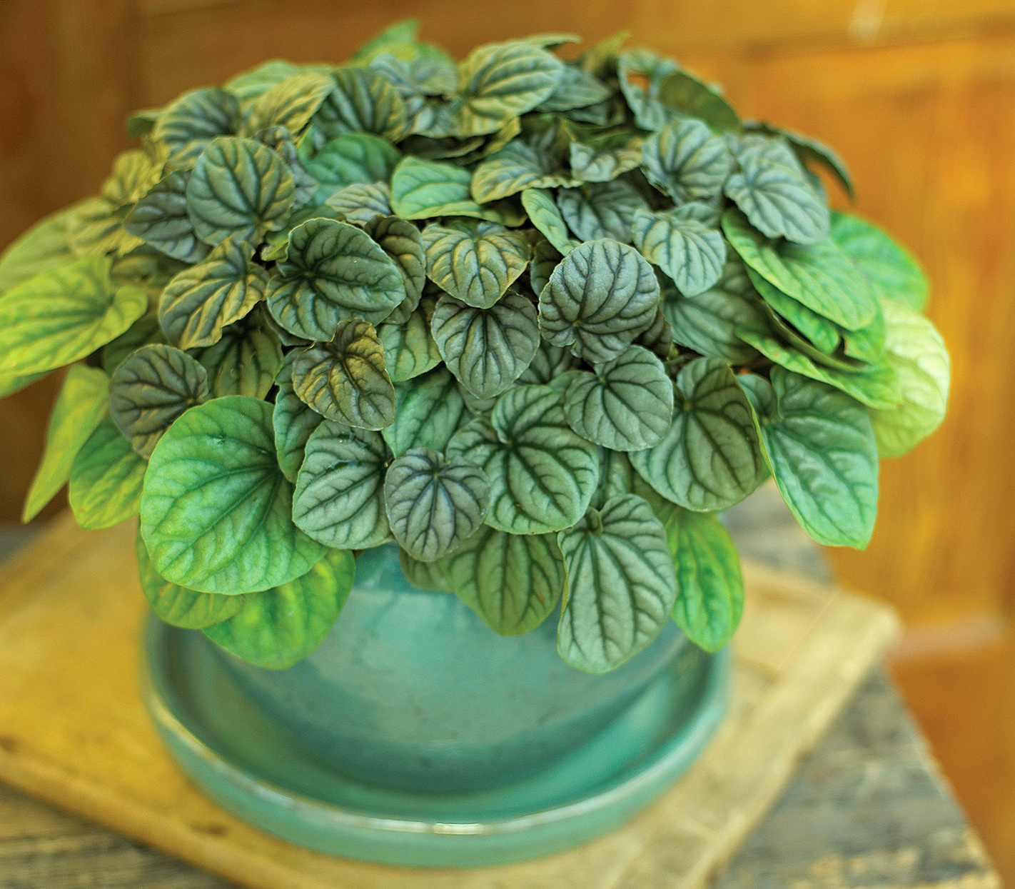 silverleaf peperomia griseoargentea with metallic silvery leaves
