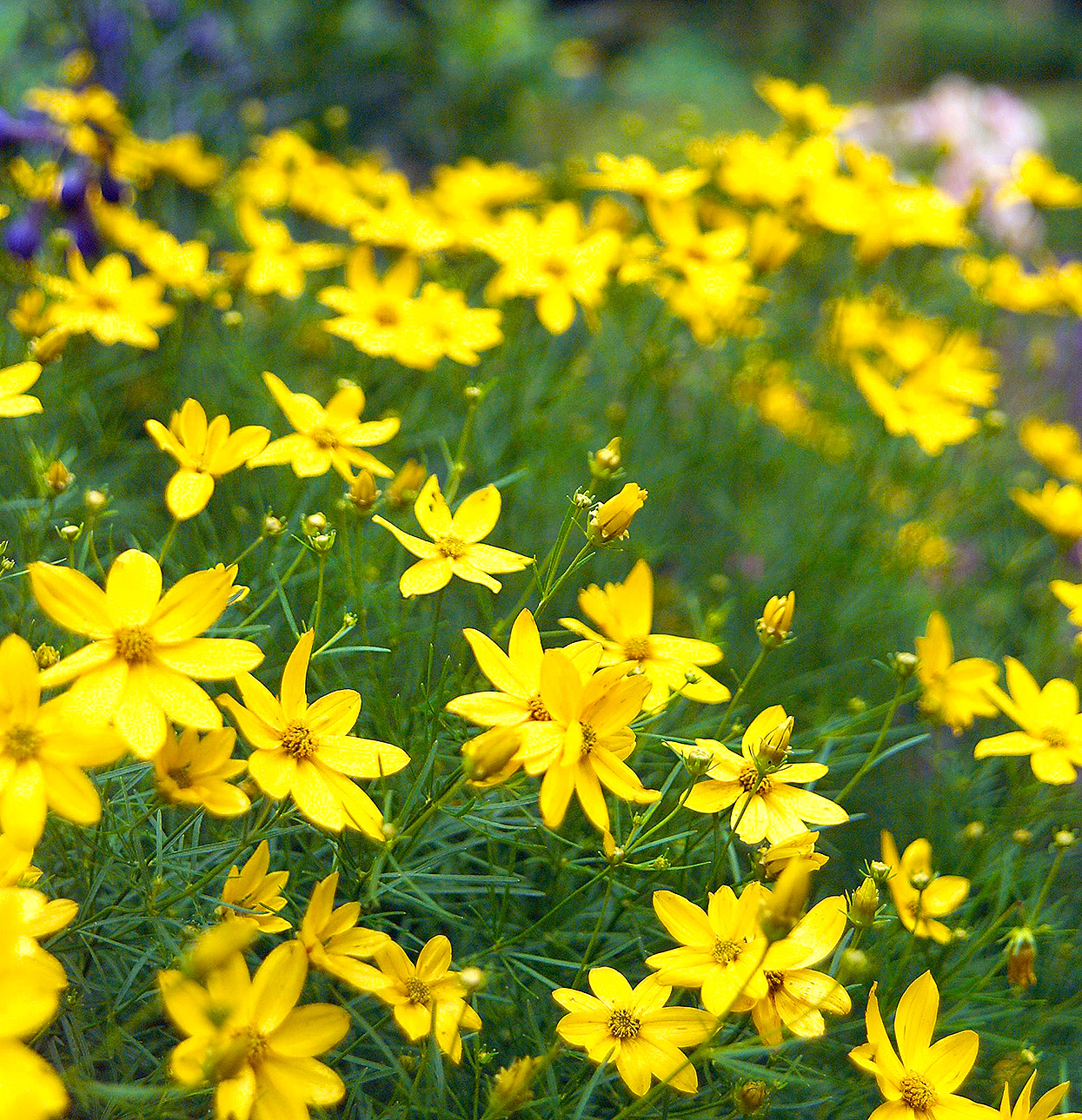 small yellow daisy-like threadleaf coreopsis perennial flowers