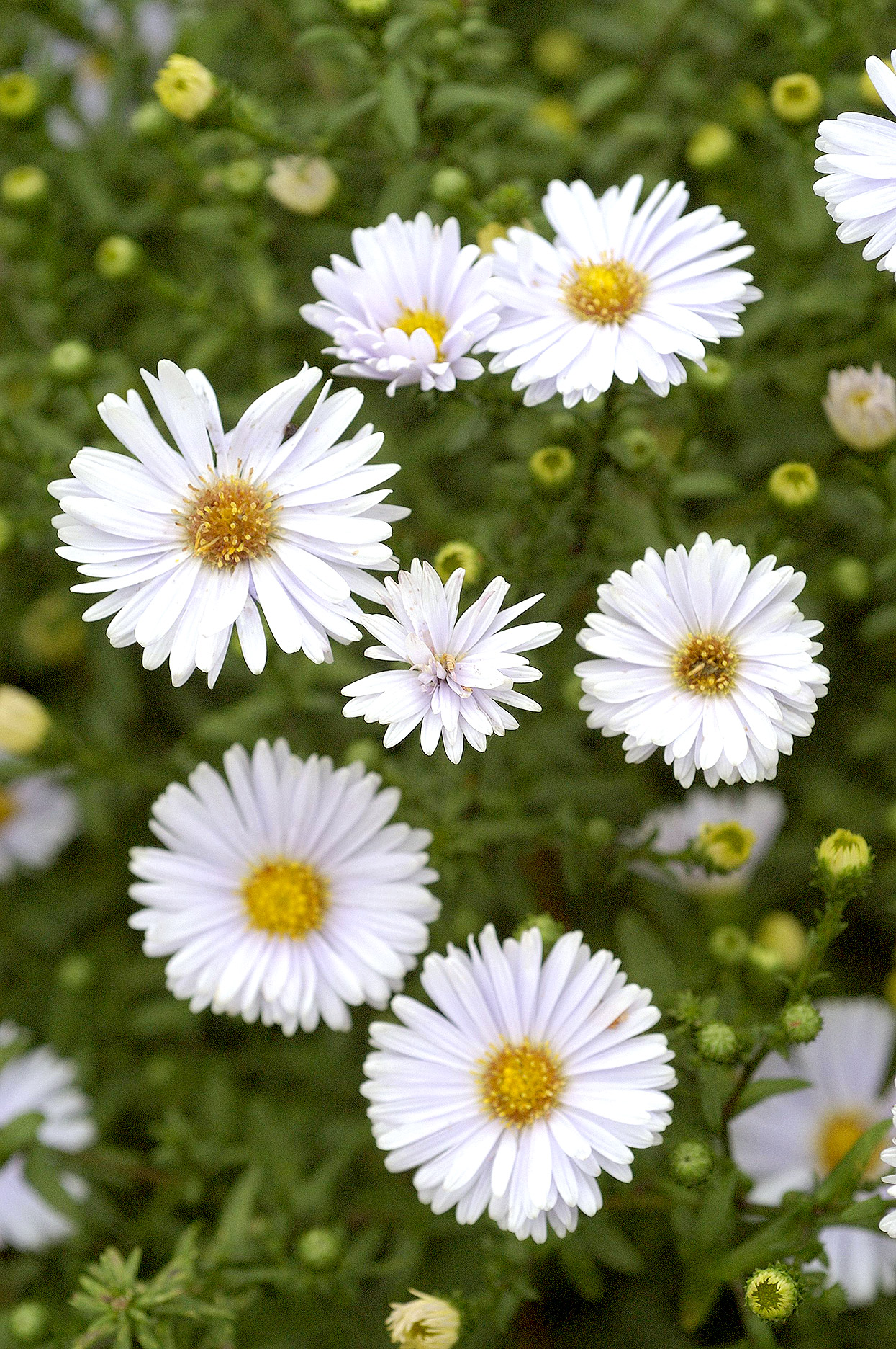 detail of white aster perennial blooms