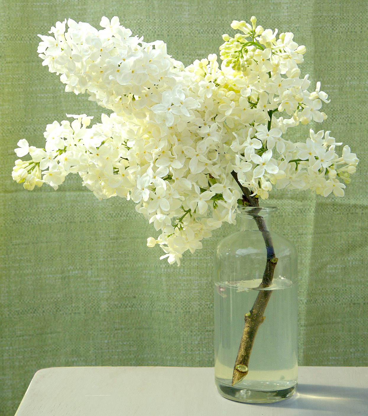 yellow Syringa 'Primrose' lilac cutting in vase