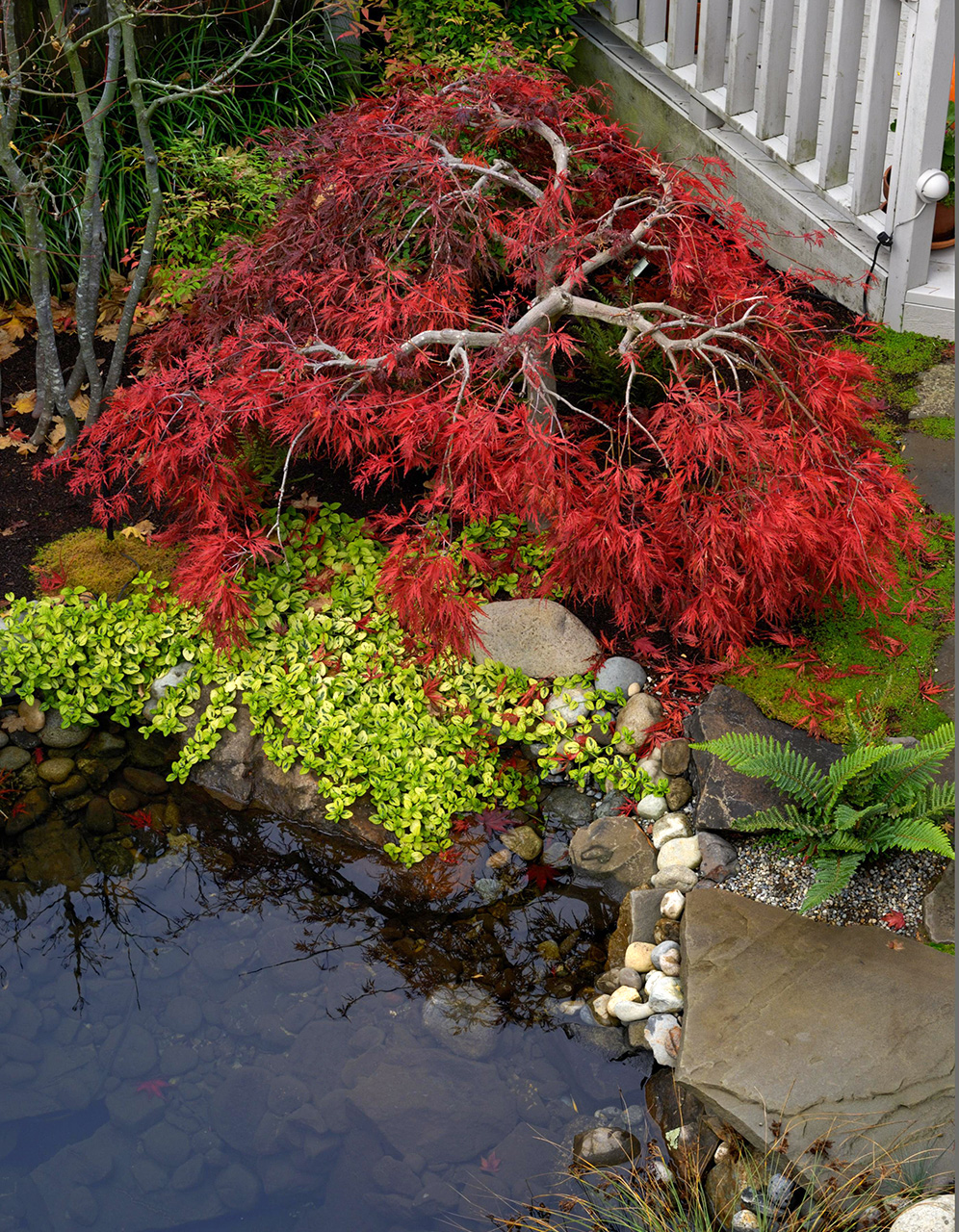 japanese maple over pond