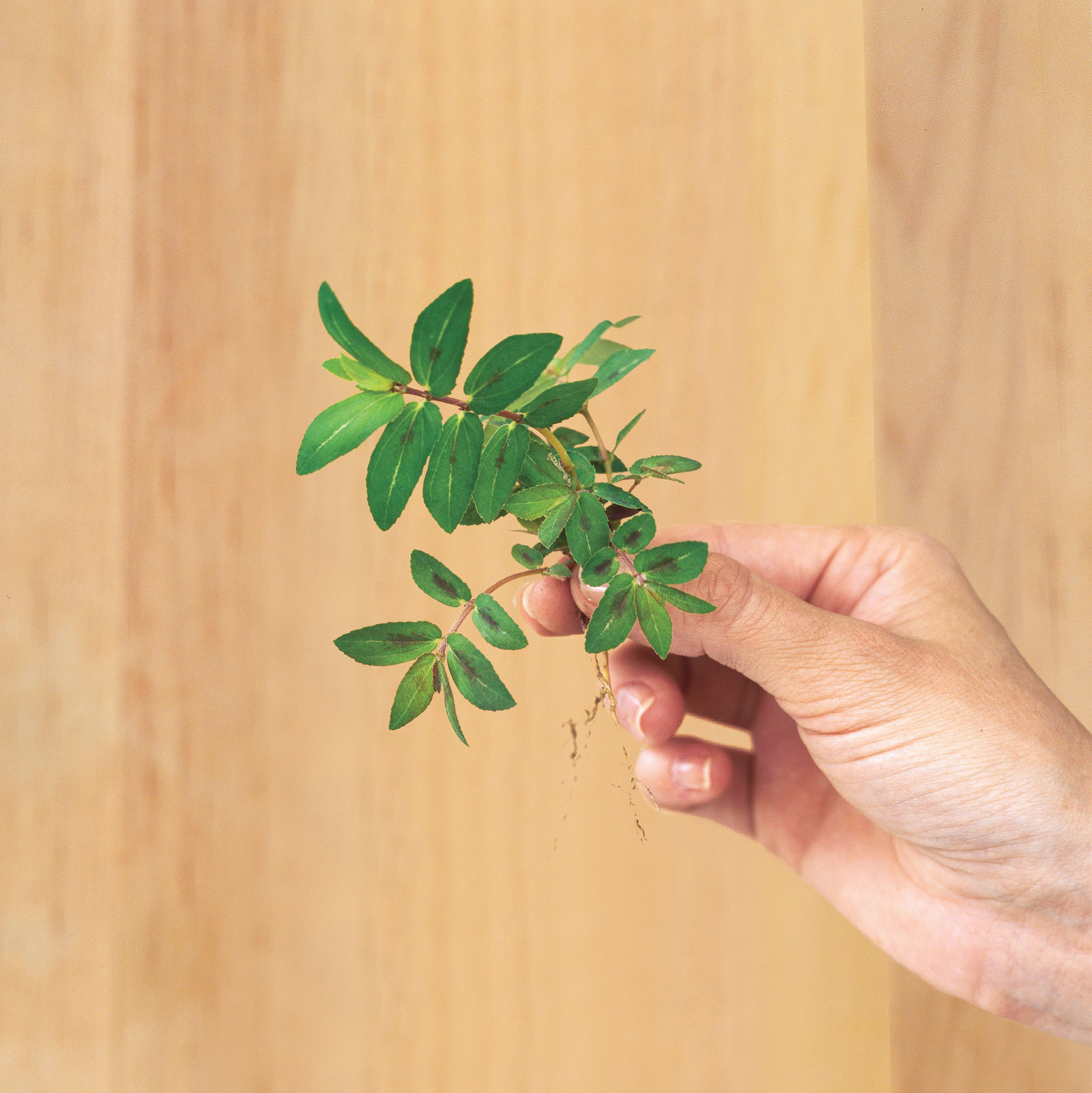 hand holding uprooted prostrate spurge weed