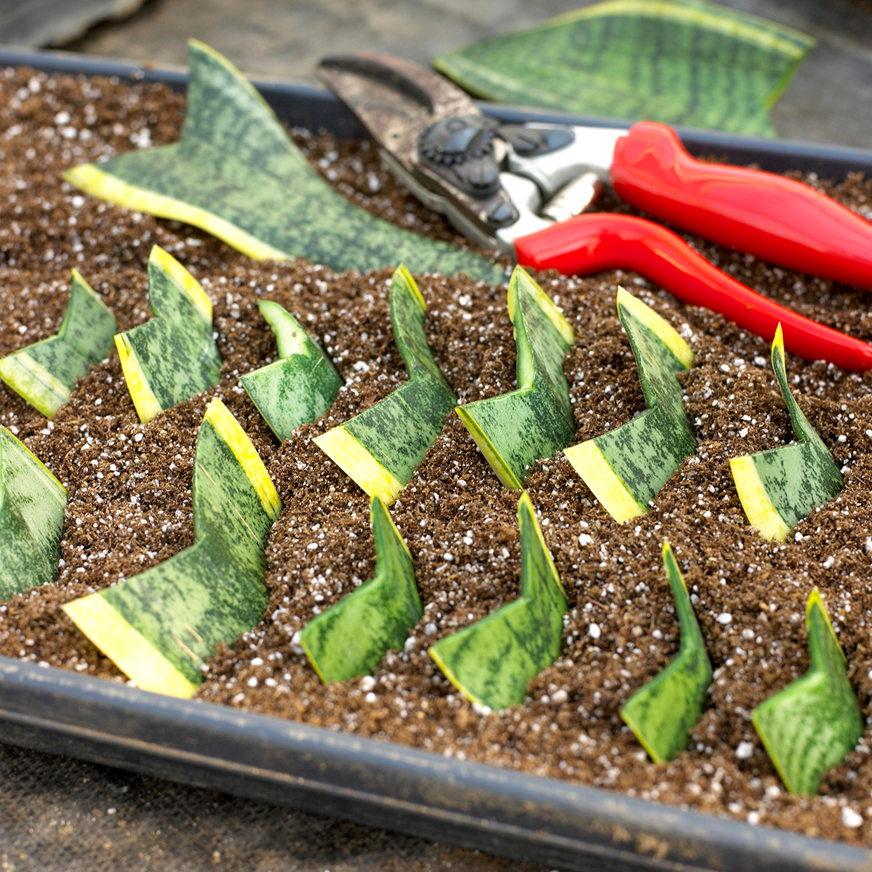 sansaveria leaf cutting with red pruners