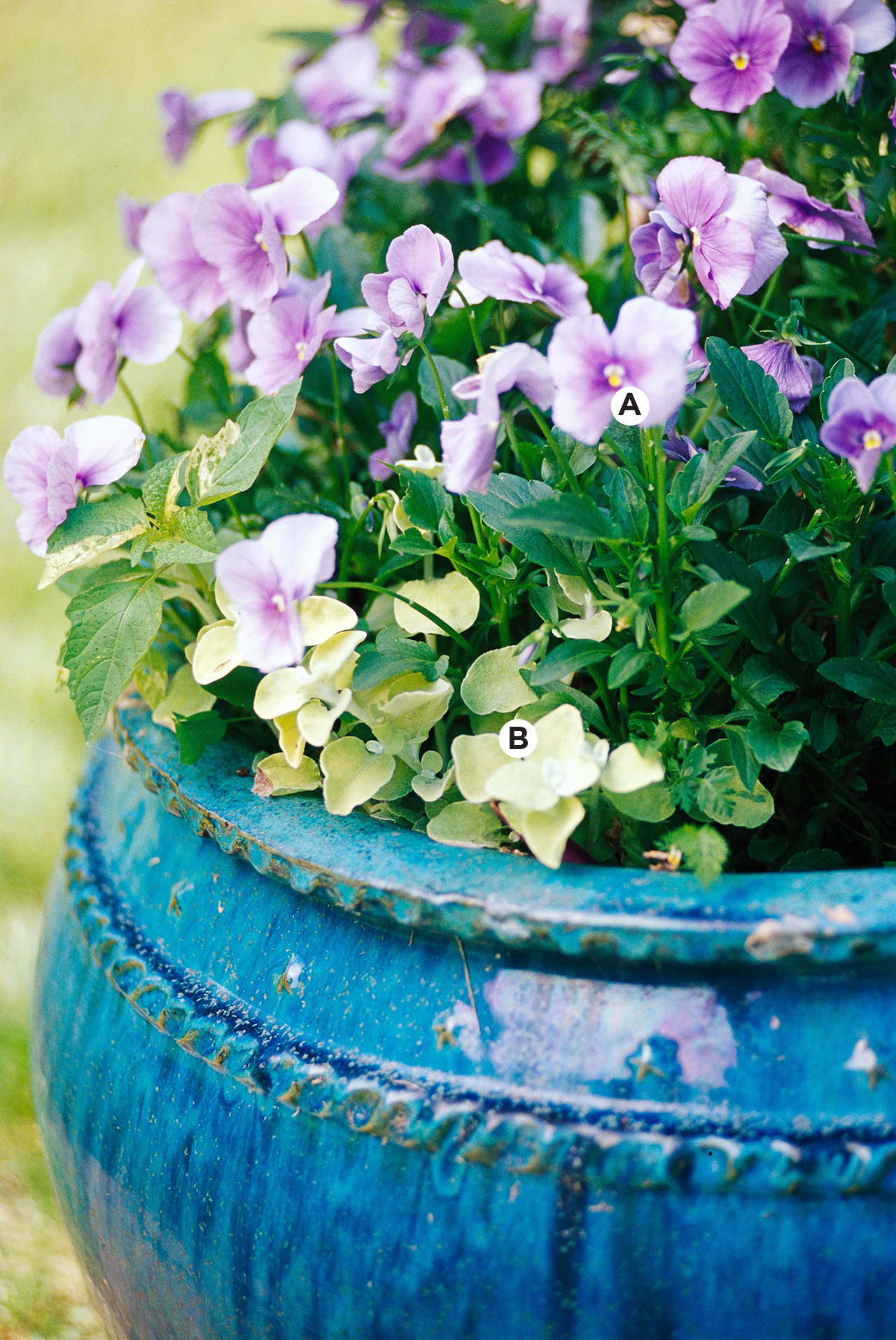 blue container with pansy, licorice plant