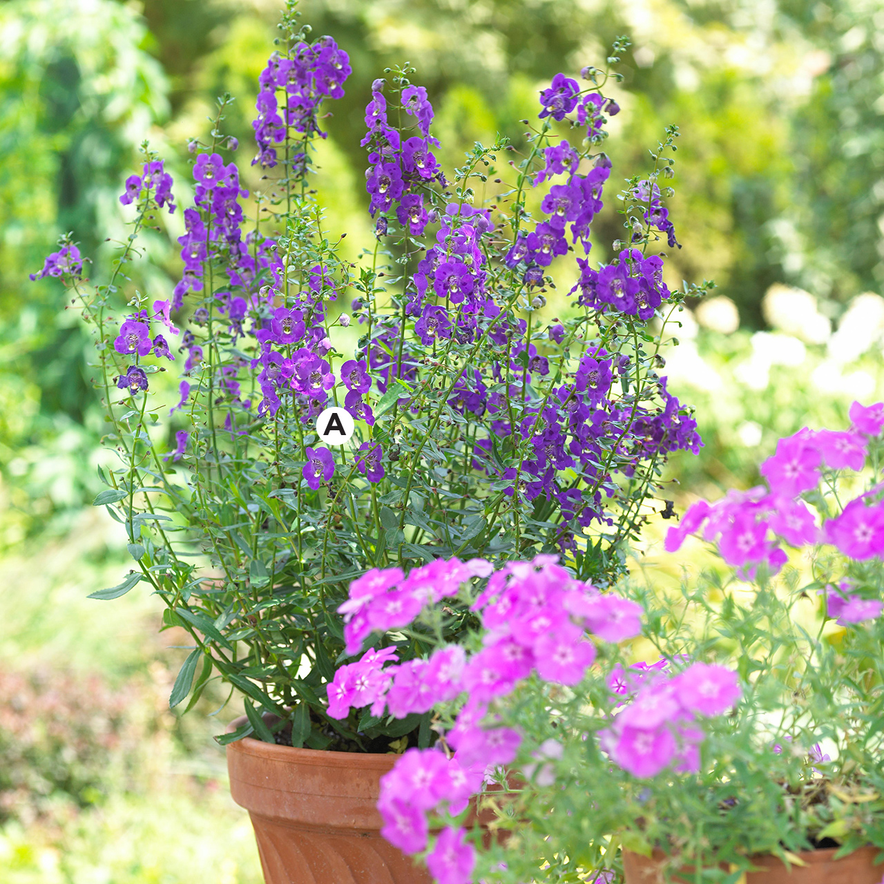 terracotta container with angelonia