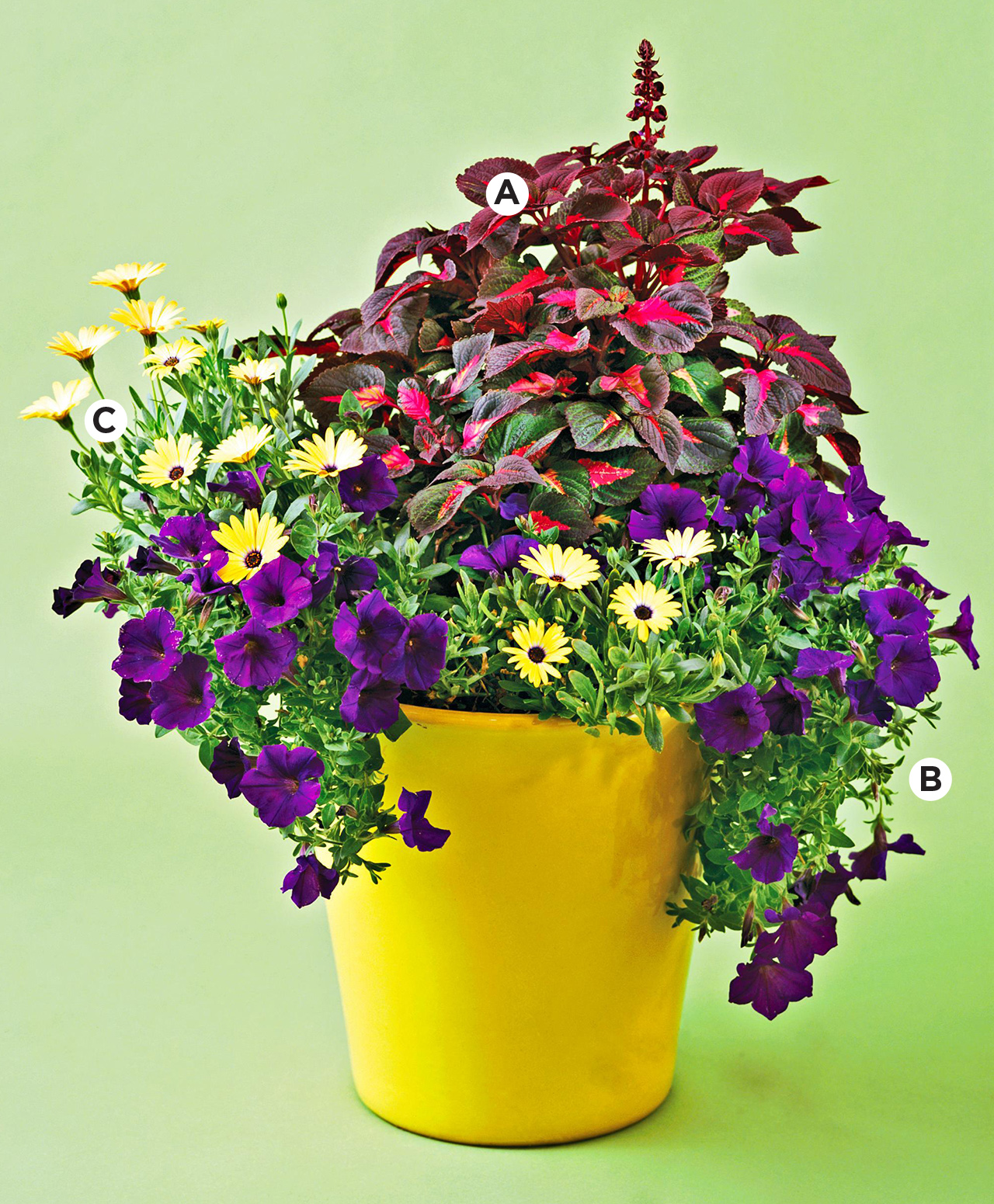 yellow container with perilla, petunia, lemon symphony