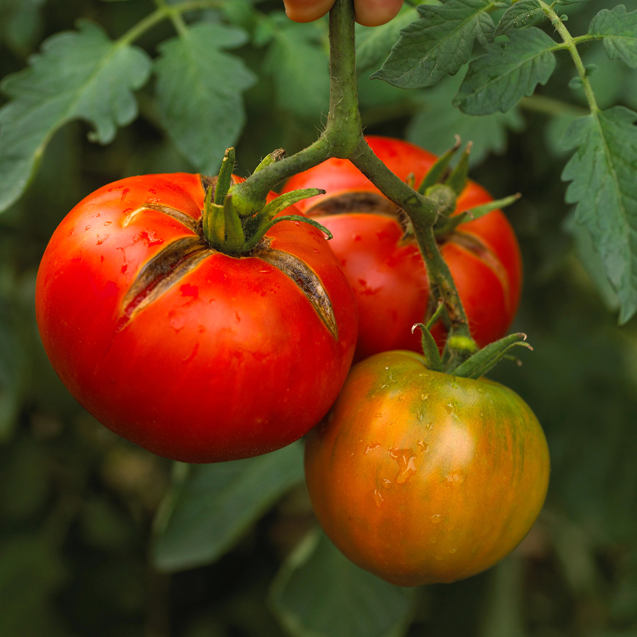 Moskvich tomatoes
