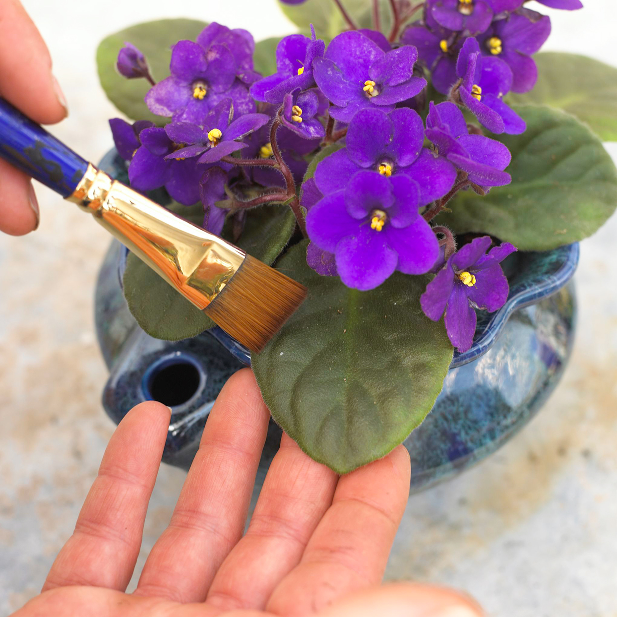 dusting leaf on African violet houseplant