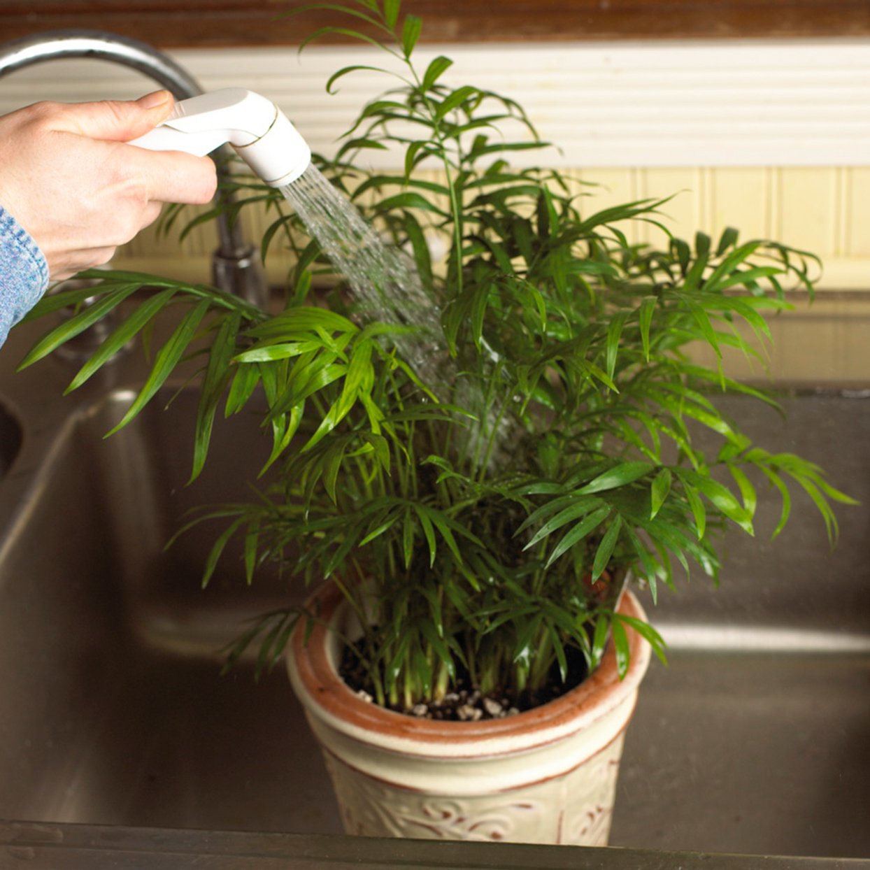 washing houseplant in sink with faucet