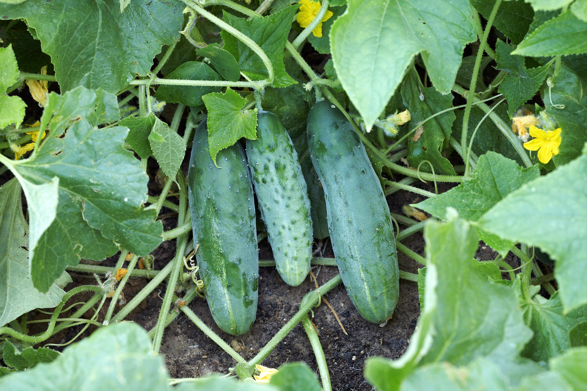 'Marketer' cucumber