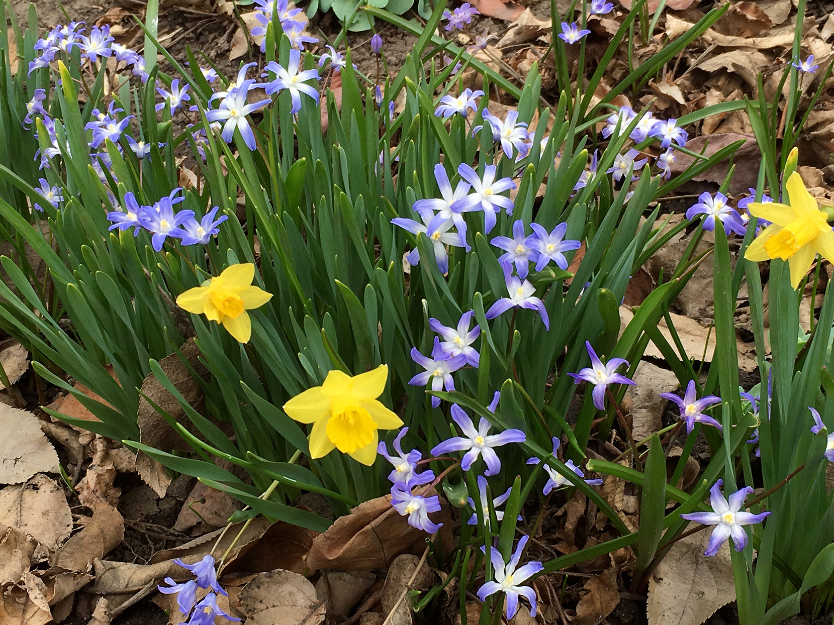 Dwarf daffodils and glory of the snow flowers growing together
