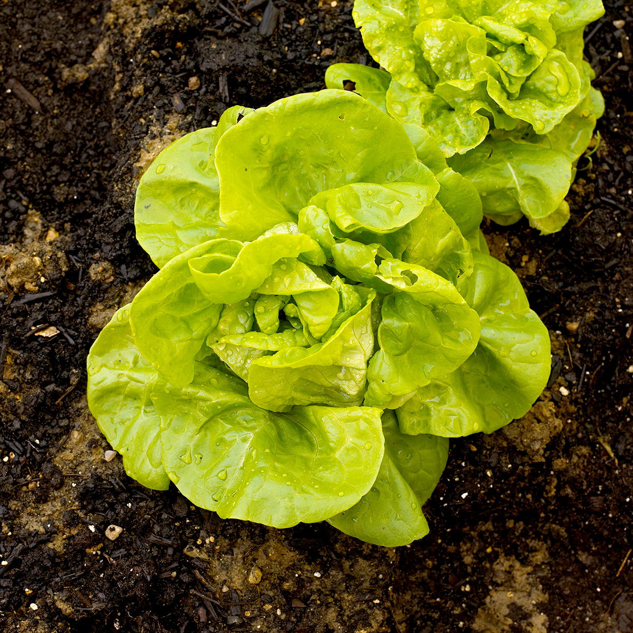 'Buttercrunch' butterhead lettuce