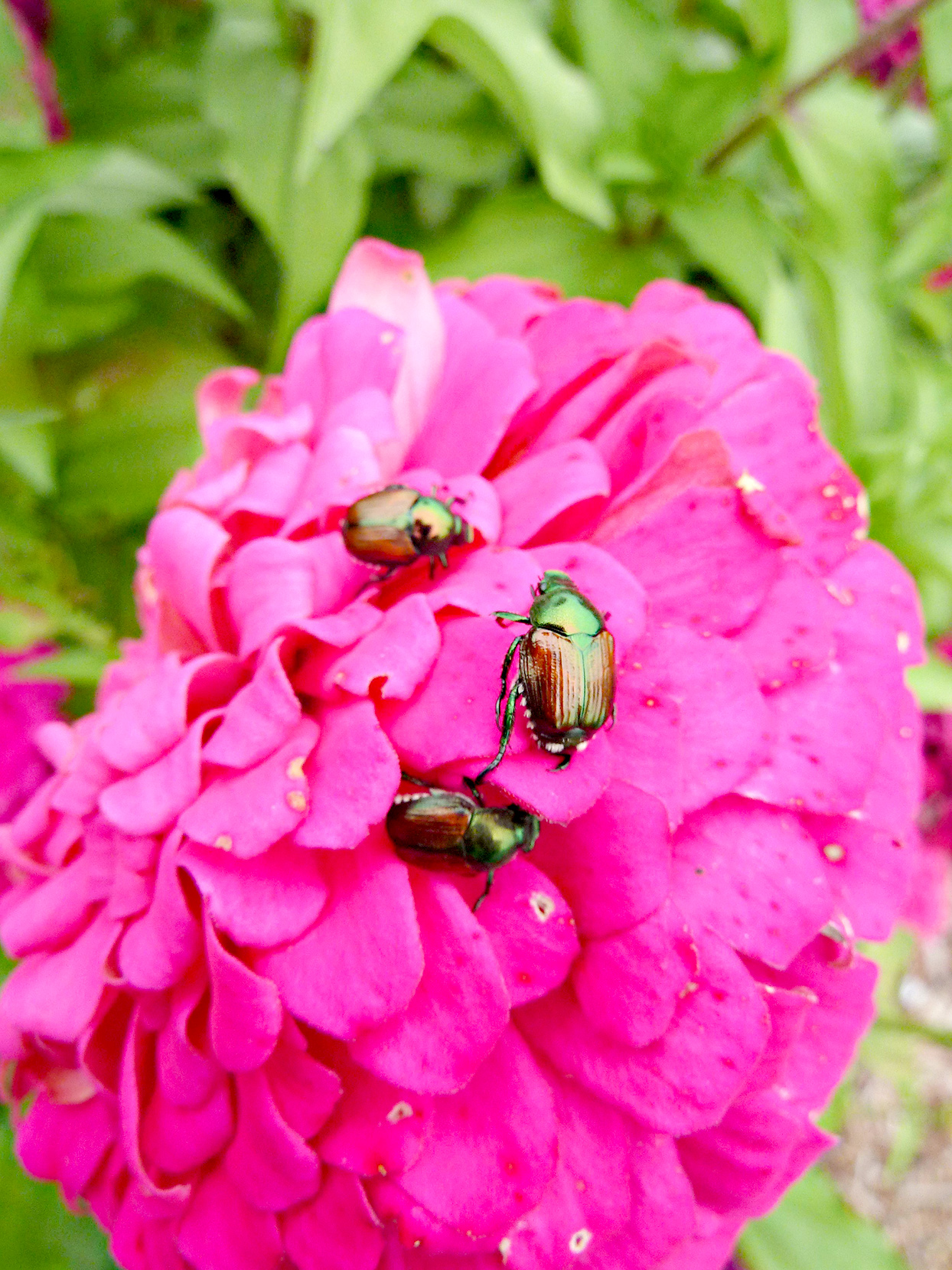Japanese beetles on zinnia