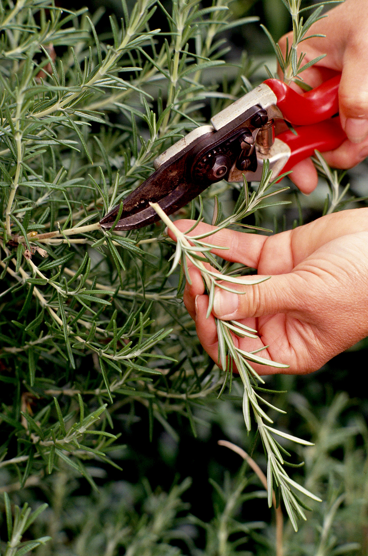 Close up of pruning Rosemary