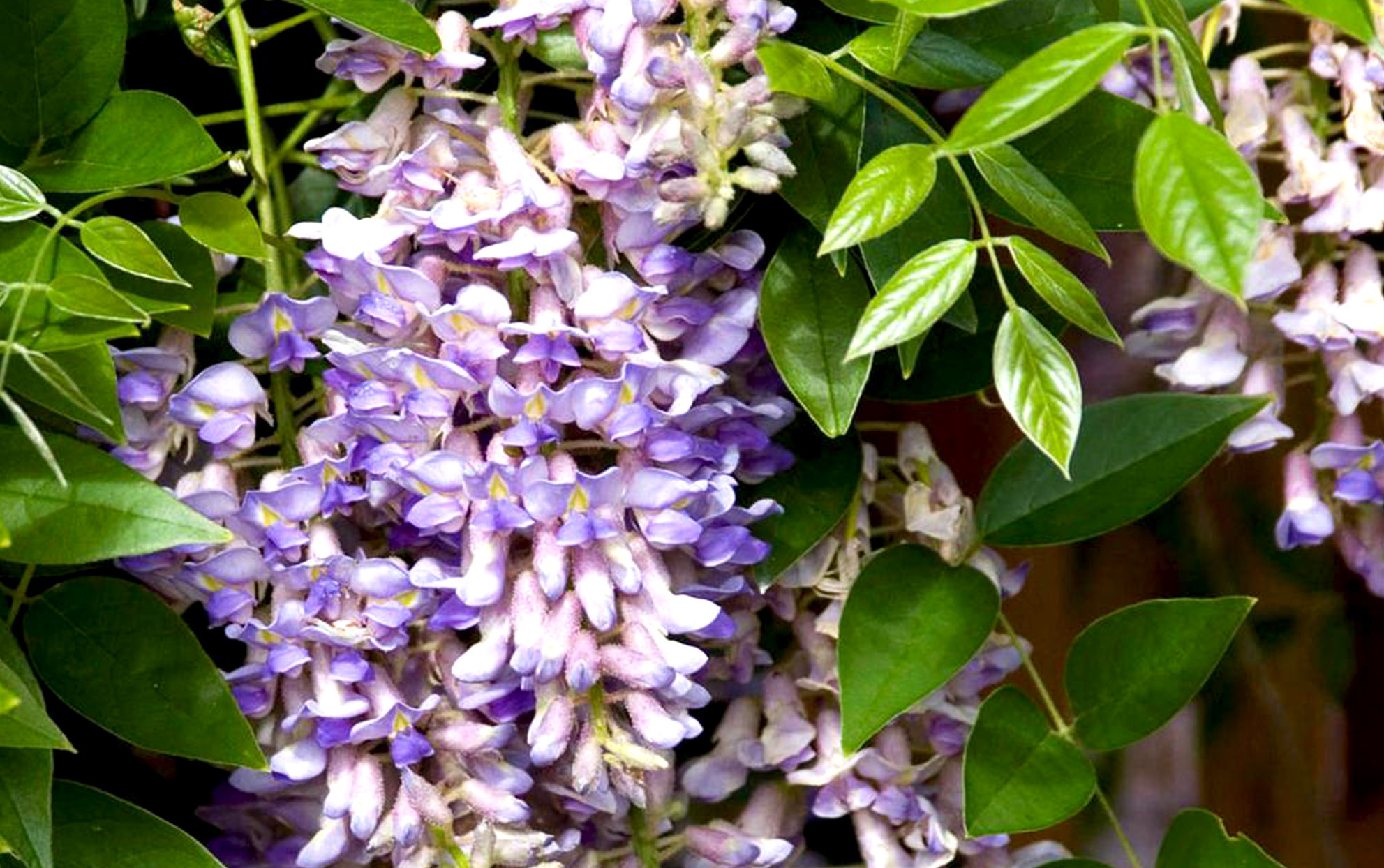 close up of Summer Cascade Wisteria vine