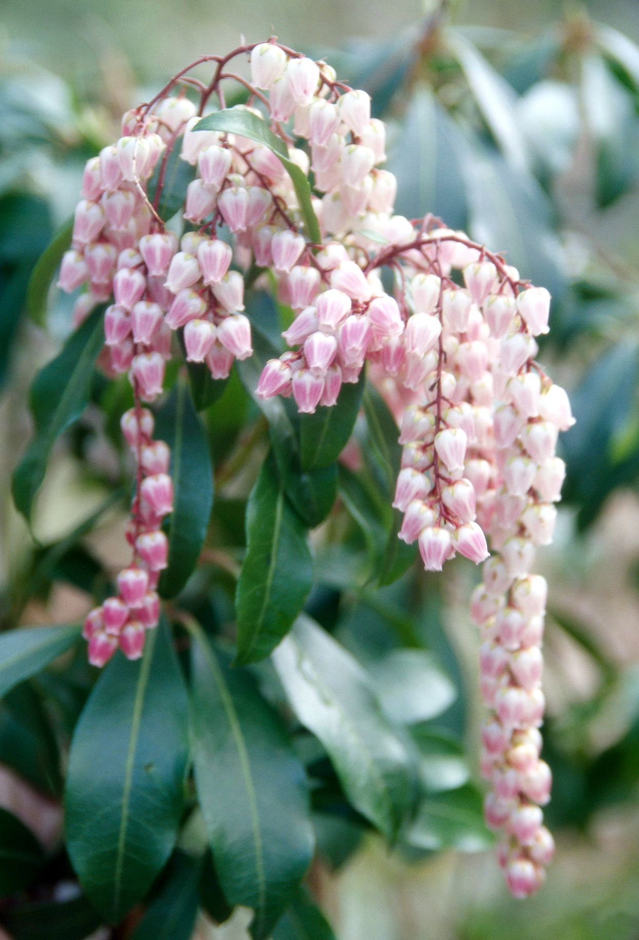 Pieris pink flowers