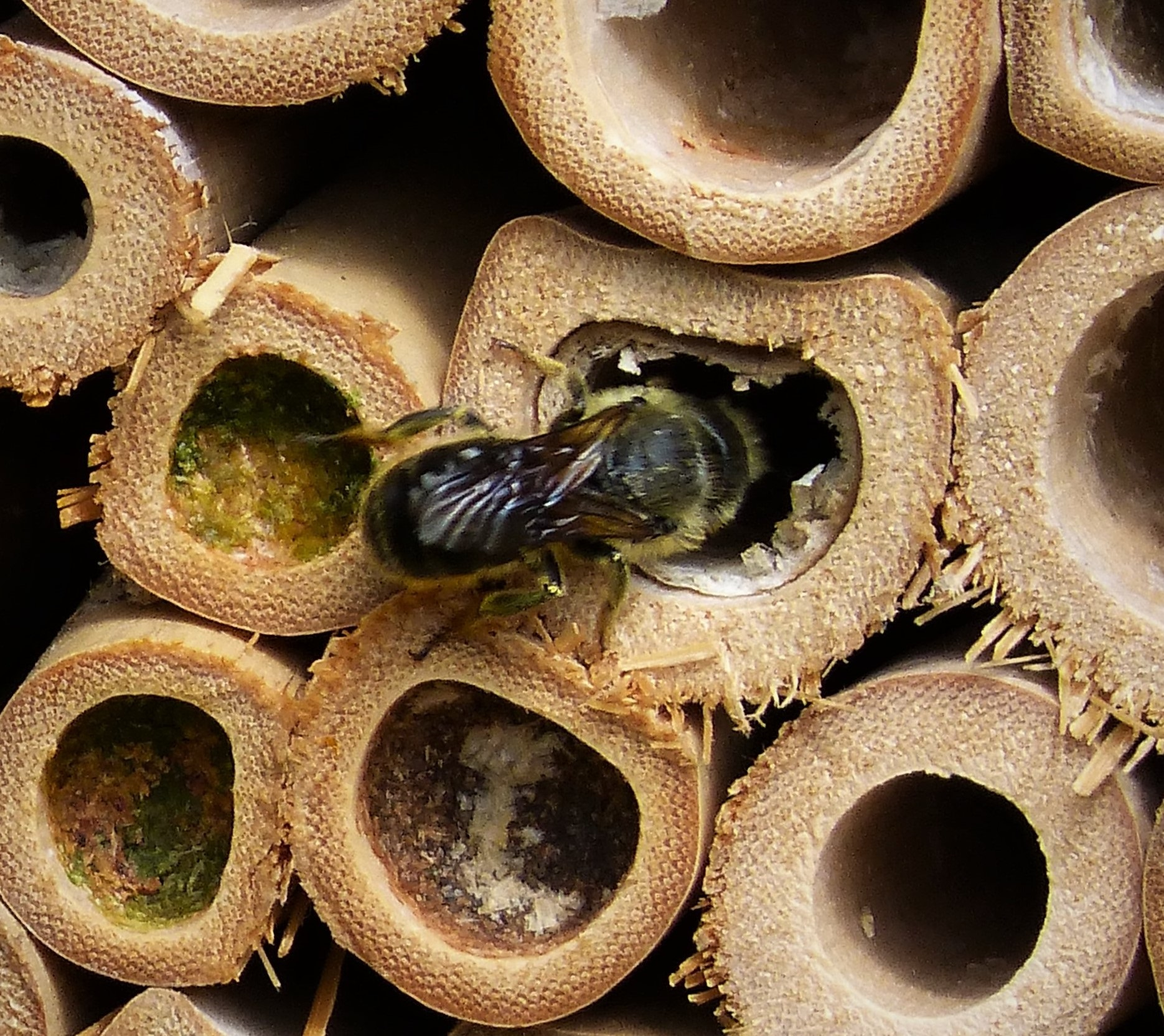 a single mason bee about to enter its nest in a bundle of bamboo tubes