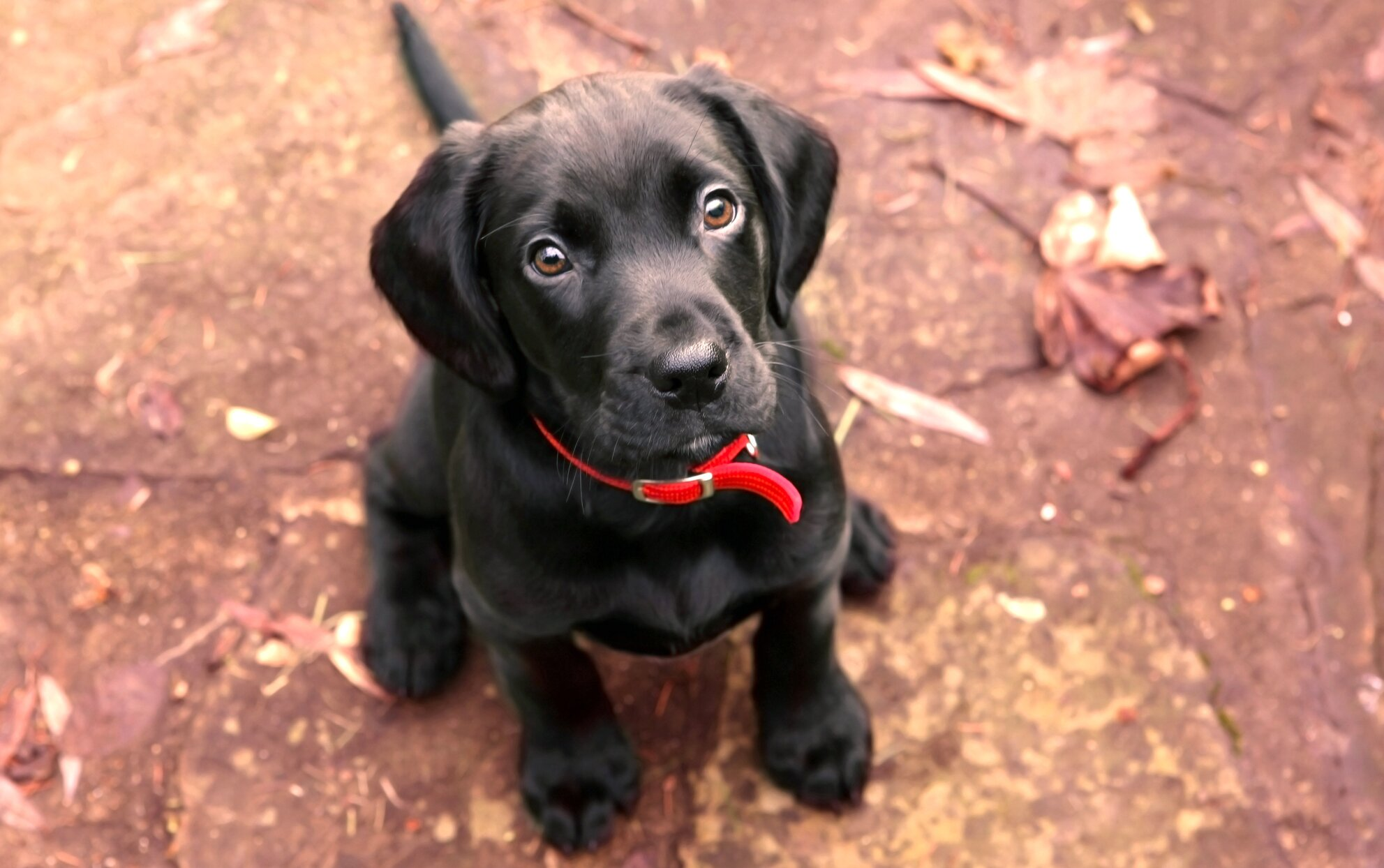 Black lab puppy sitting attentively on the ground outside
