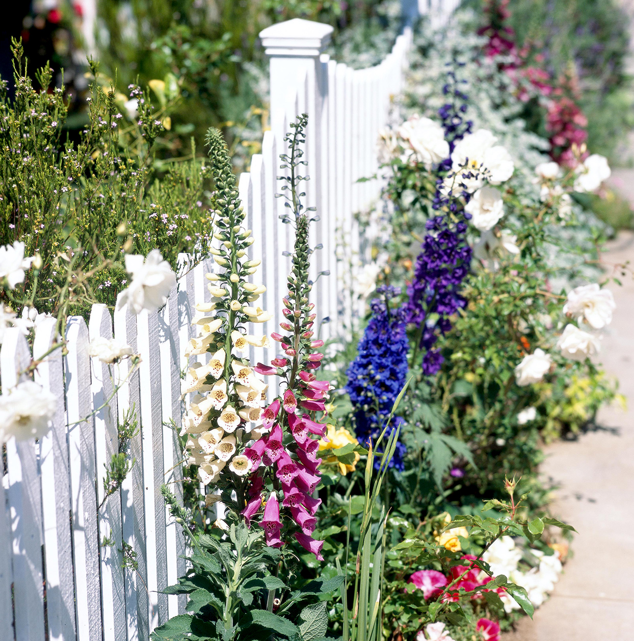 Delphinium in front of white picket fence