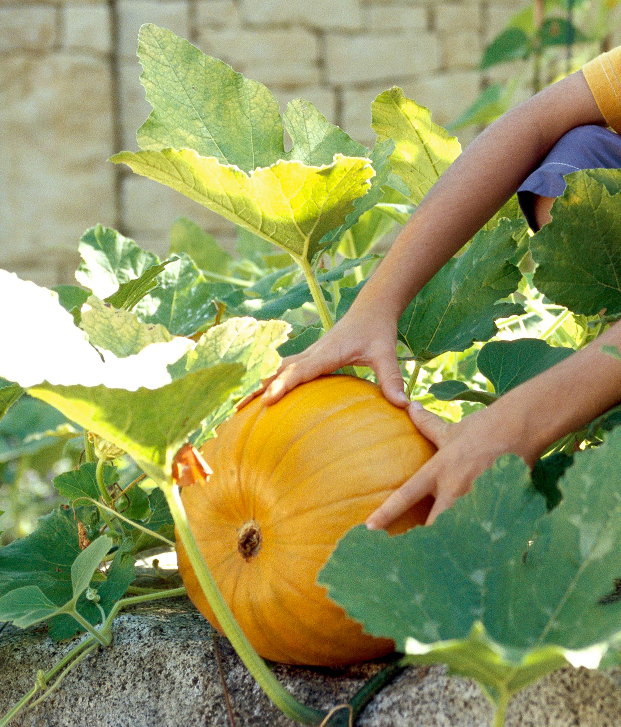 'baby bear' pumpkin in garden