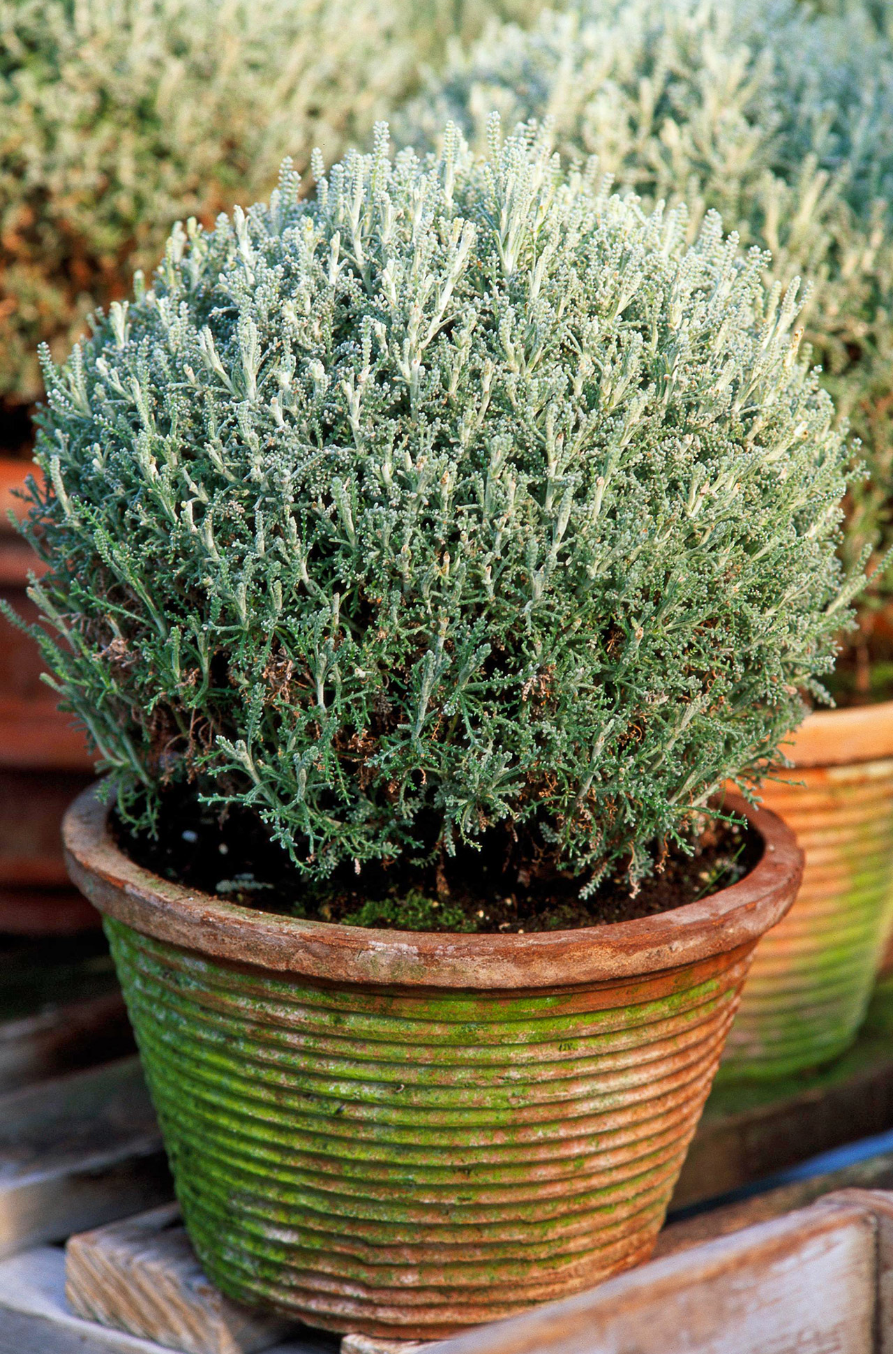 lavender cotton silver-leaf plant