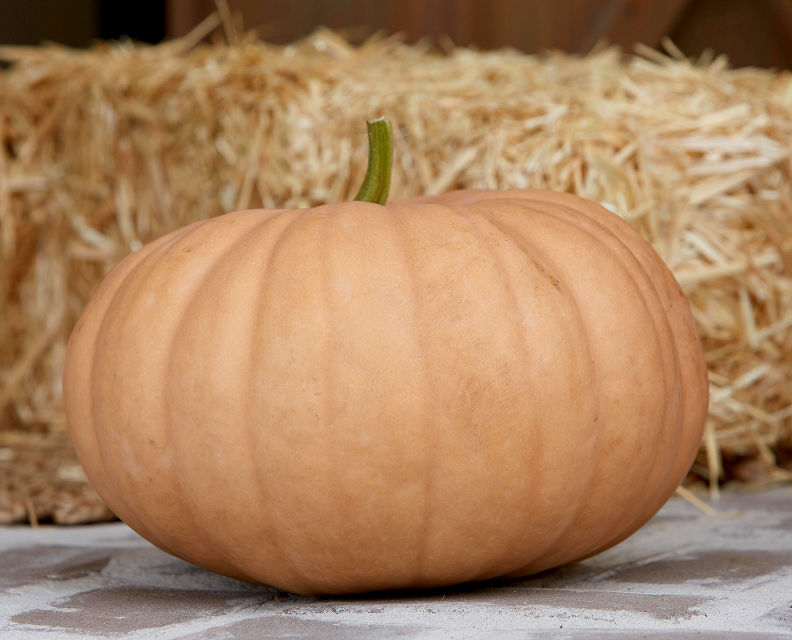 'new england cheddar' pumpkin with muted orange color