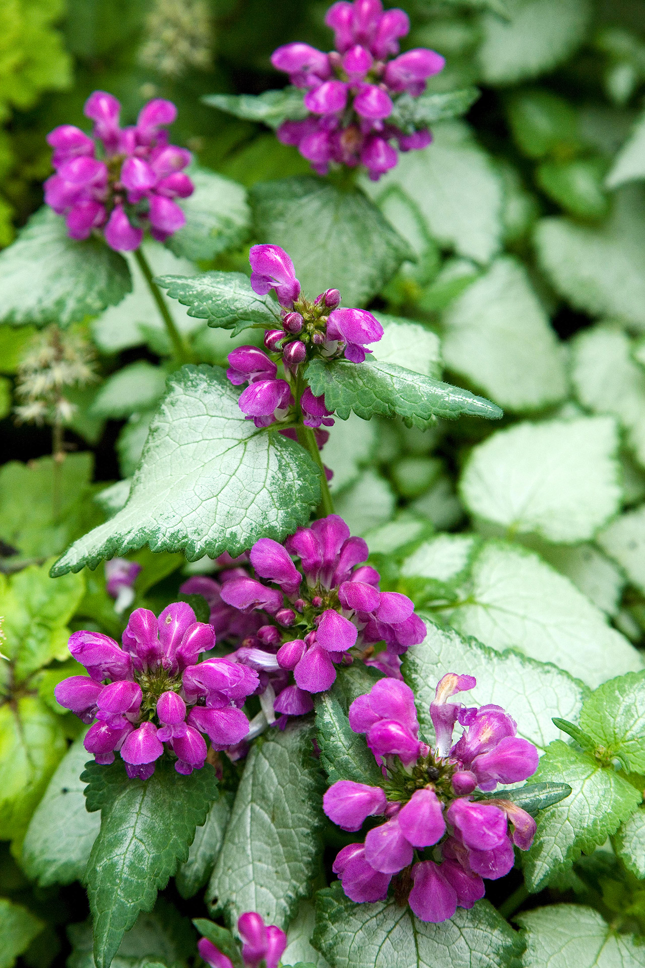 purple dragon lamium silver-leaf plant