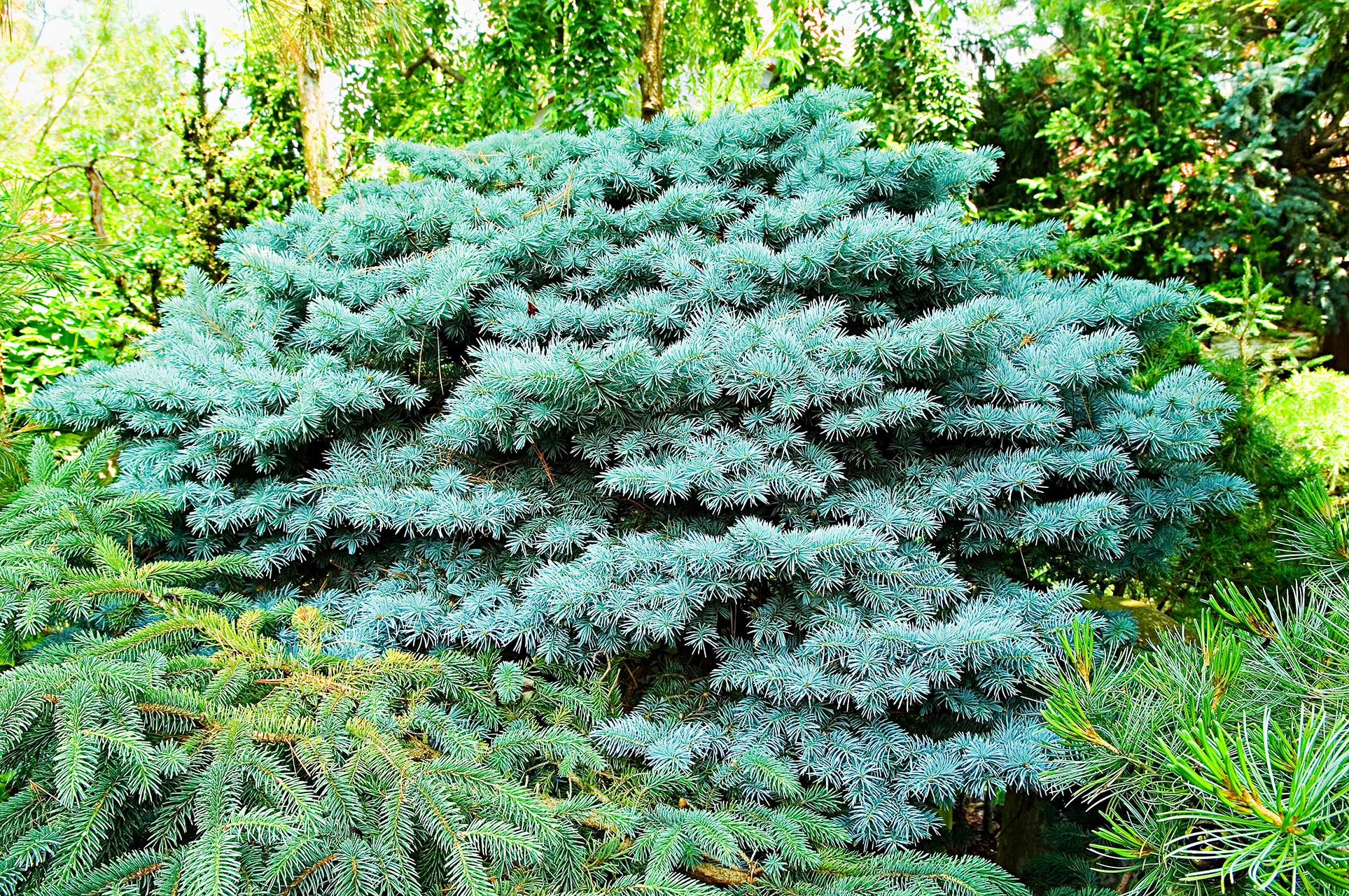 silver-leafed evergreen bush