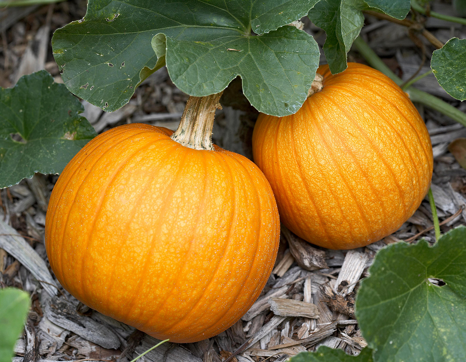 'small sugar' pumpkins growing on vine