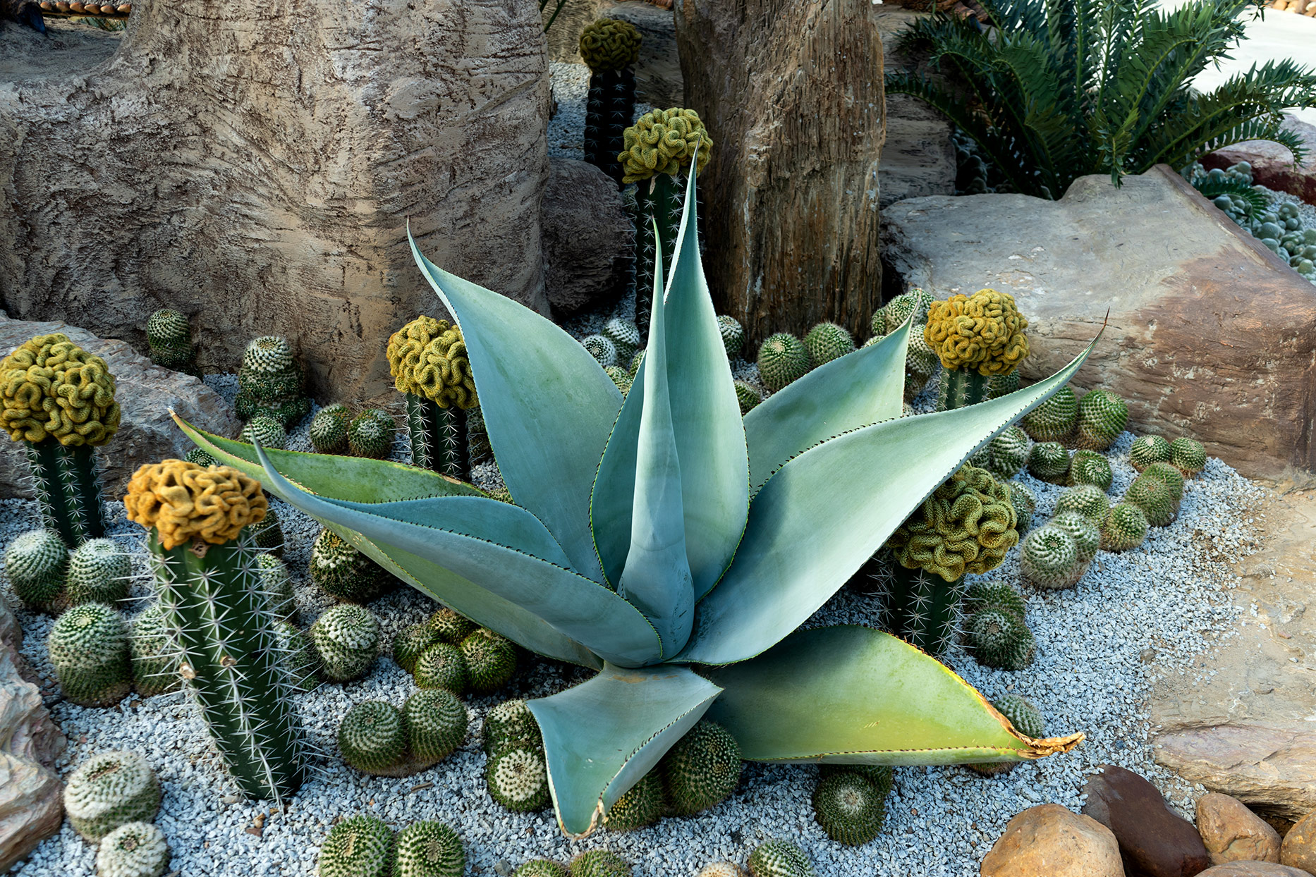 agave and cacti in garden