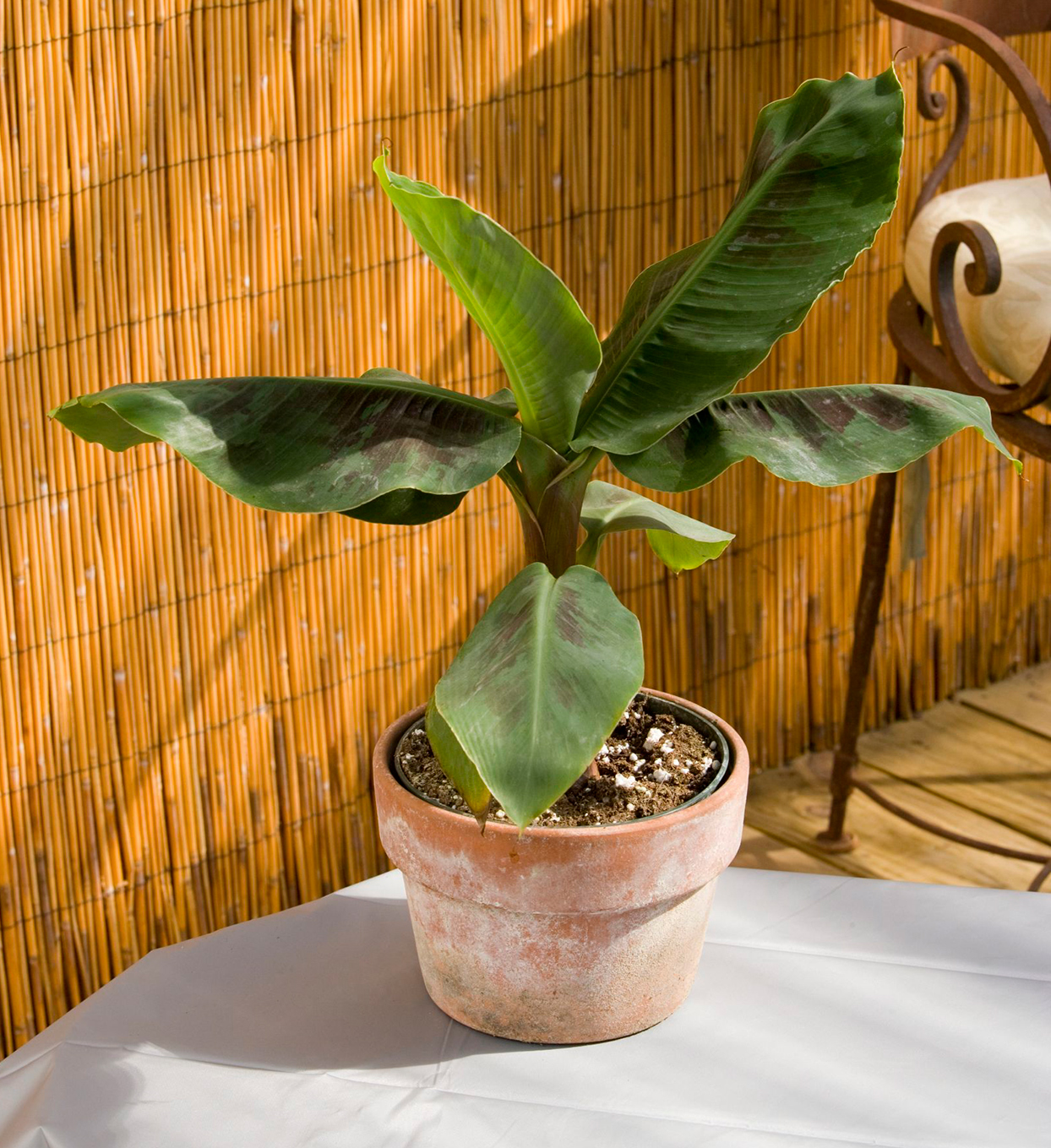potted banana plant sitting on table