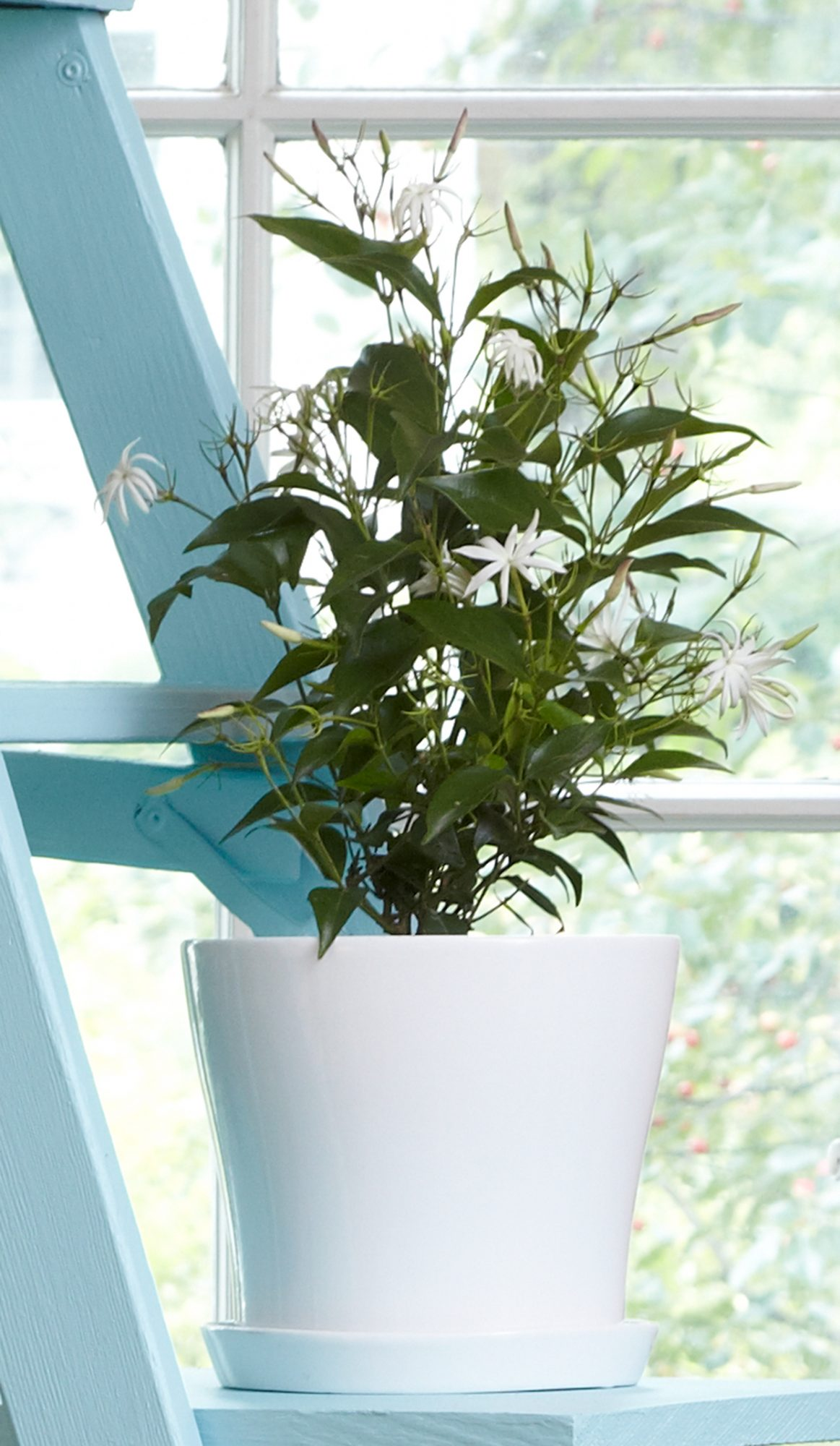 jasmine houseplant in white pot