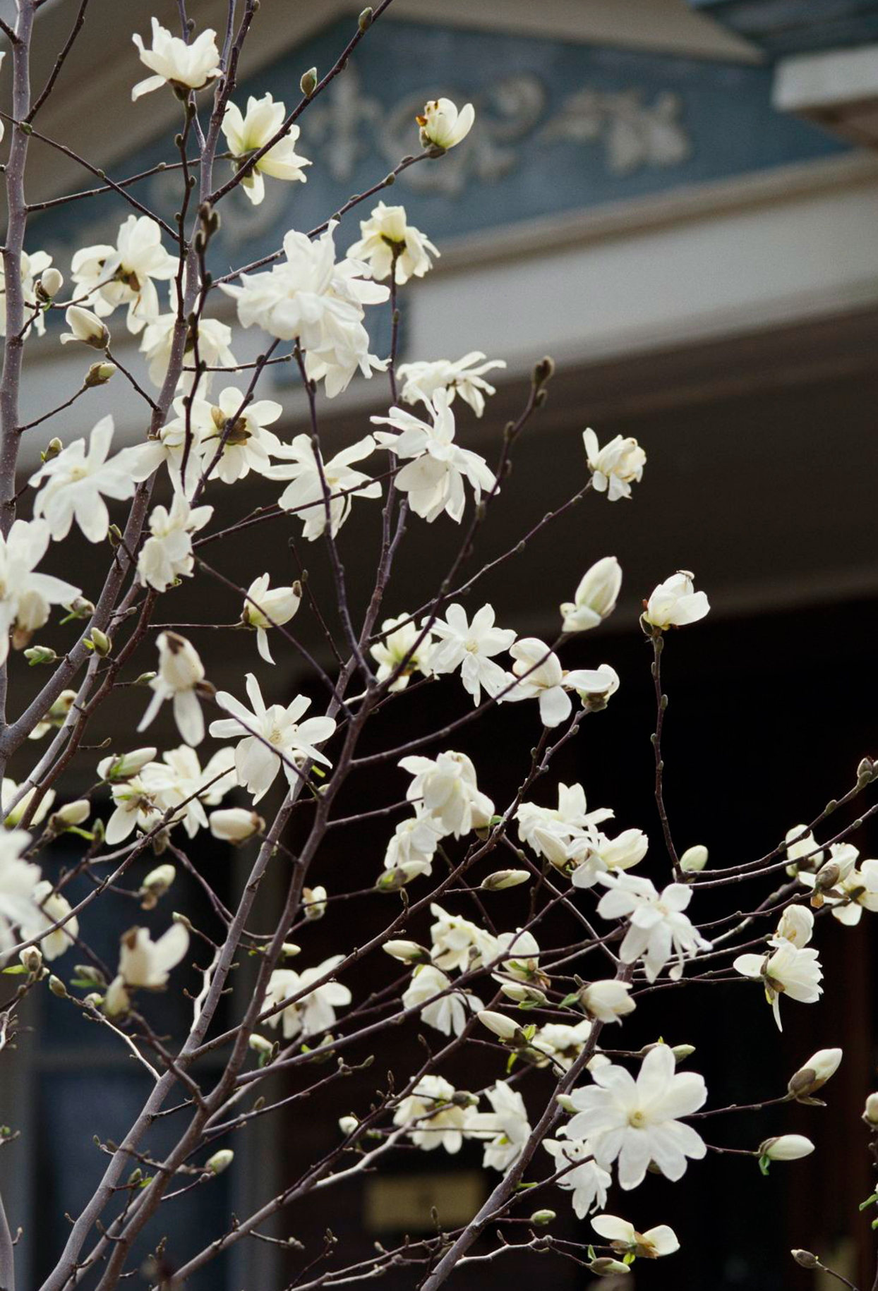 star magnolia tree growing in front of house