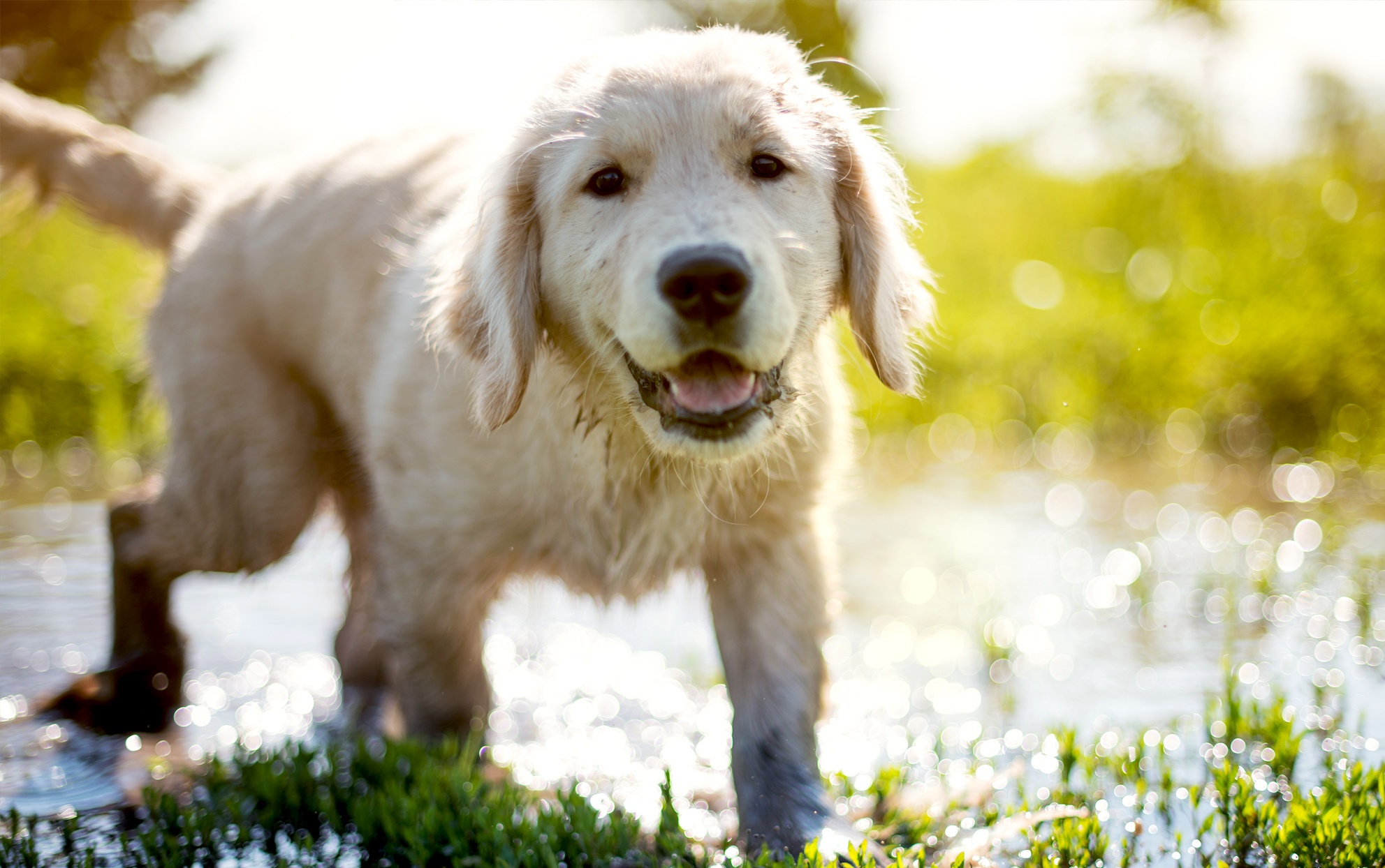 Golden Retriever puppy playing in the mud