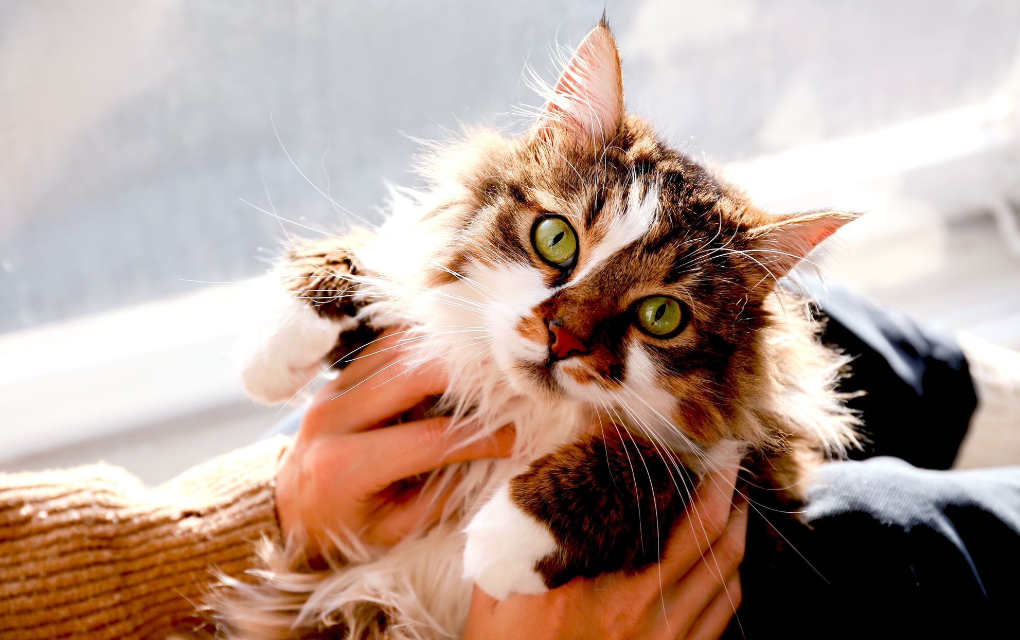 Long haired cat with green eyes being held by owner