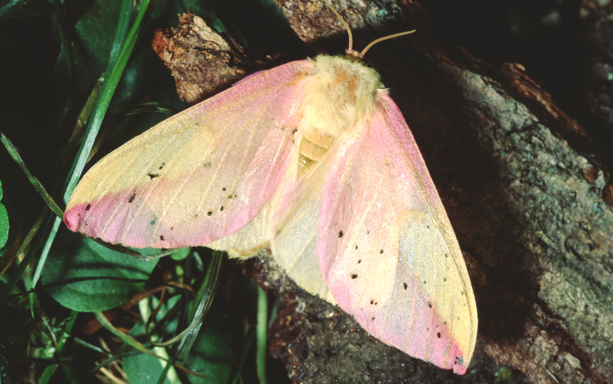 overhead view of a rosy maple moth