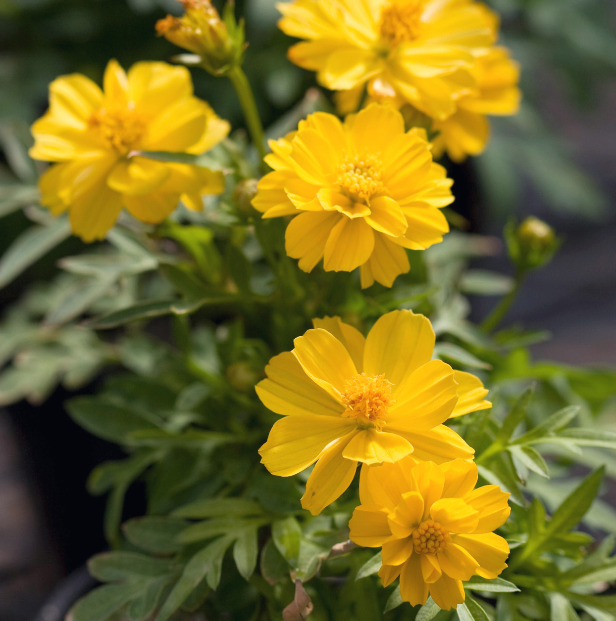'Cosmic Yellow' cosmos