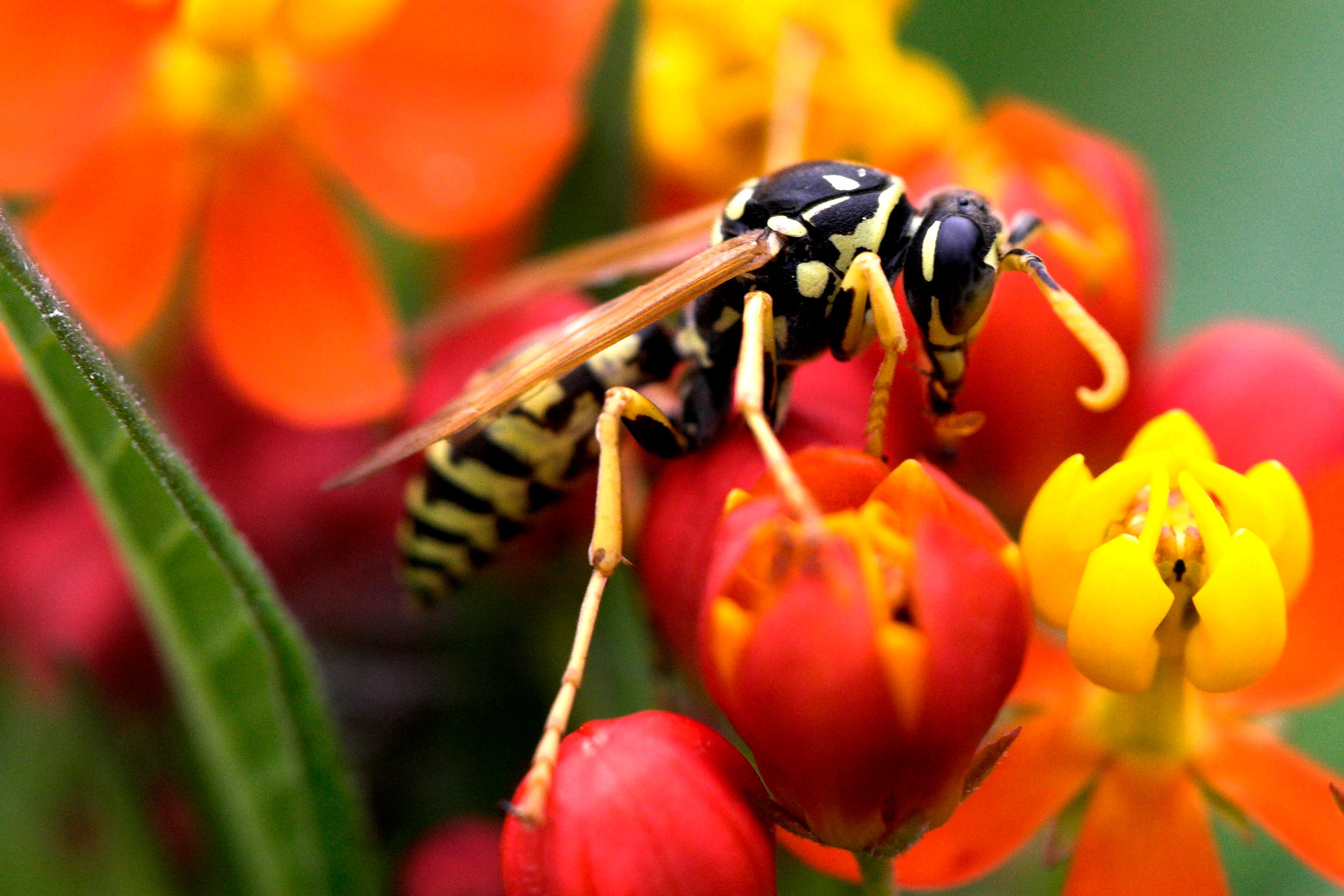 yellowjacket on milkweed flower
