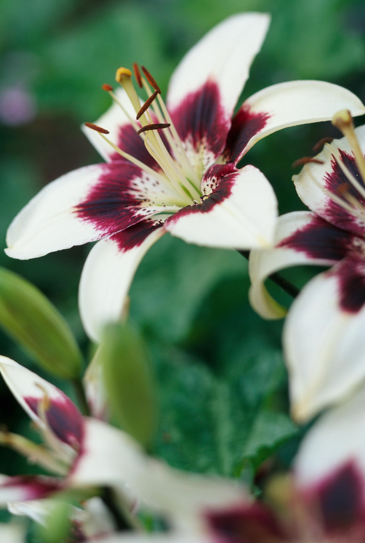 'Centerfold' Asiatic lily
