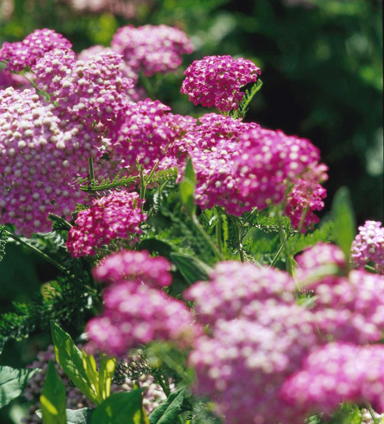 'Cerise Queen' yarrow