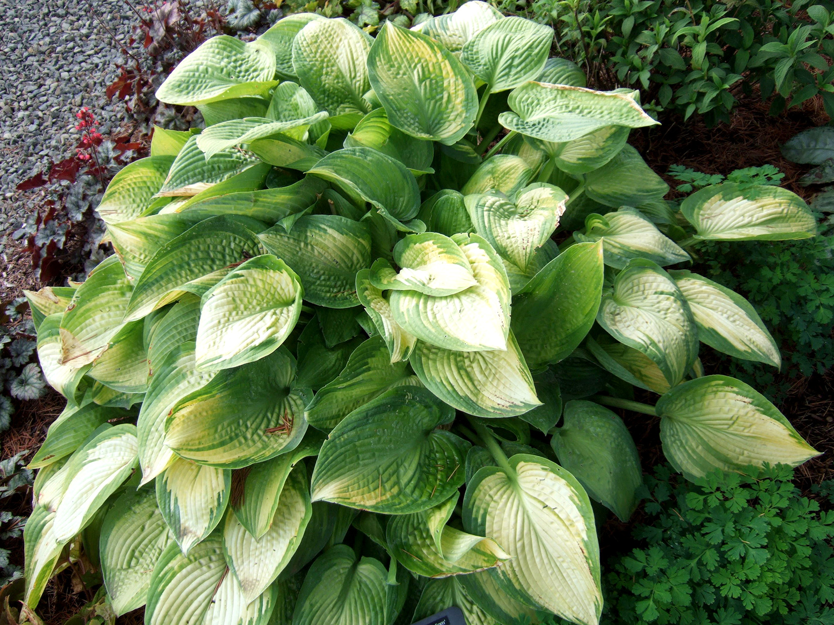 Paradigm Hosta with golden leaves and green edges