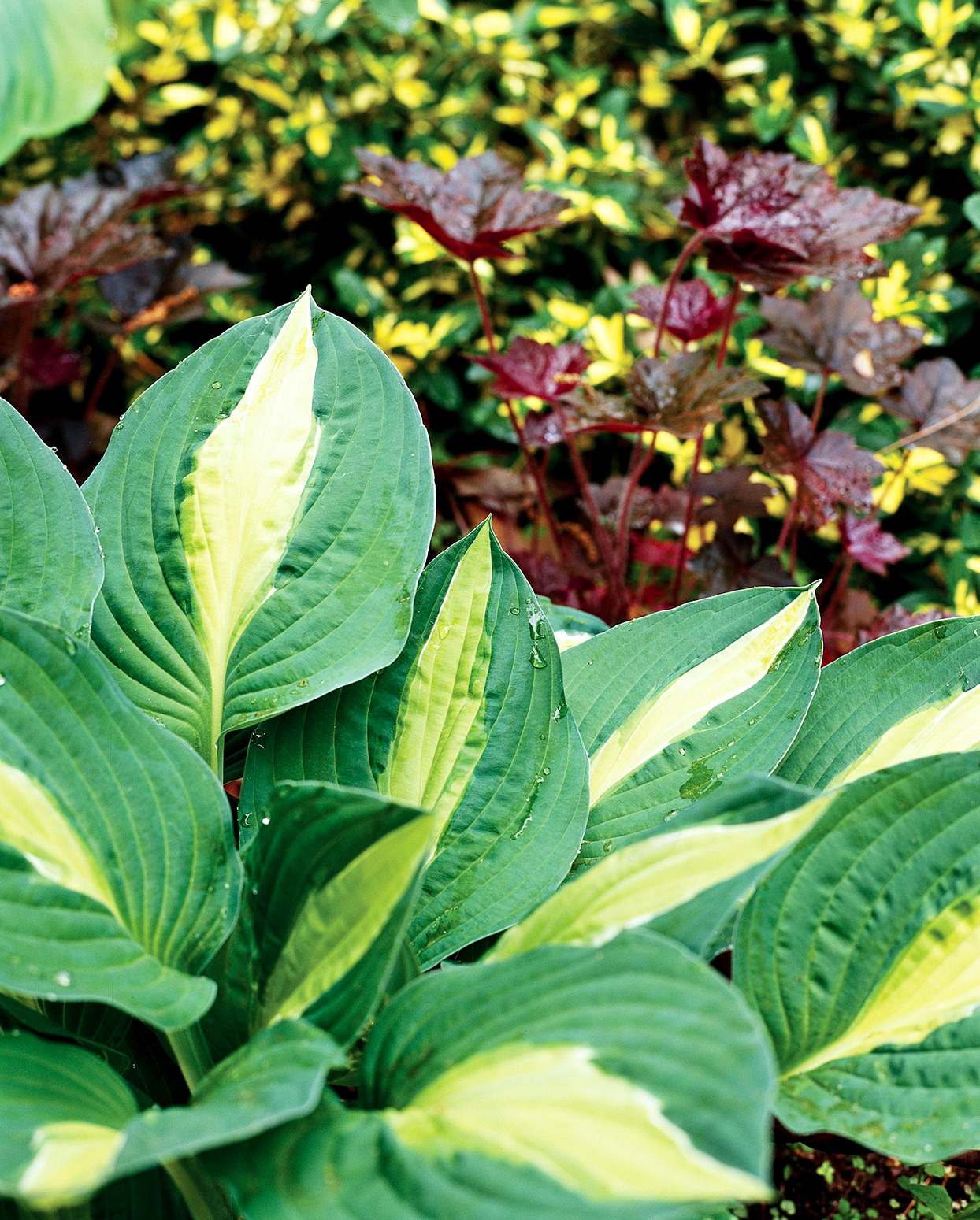 Striptease Hosta with golden centers and green edges