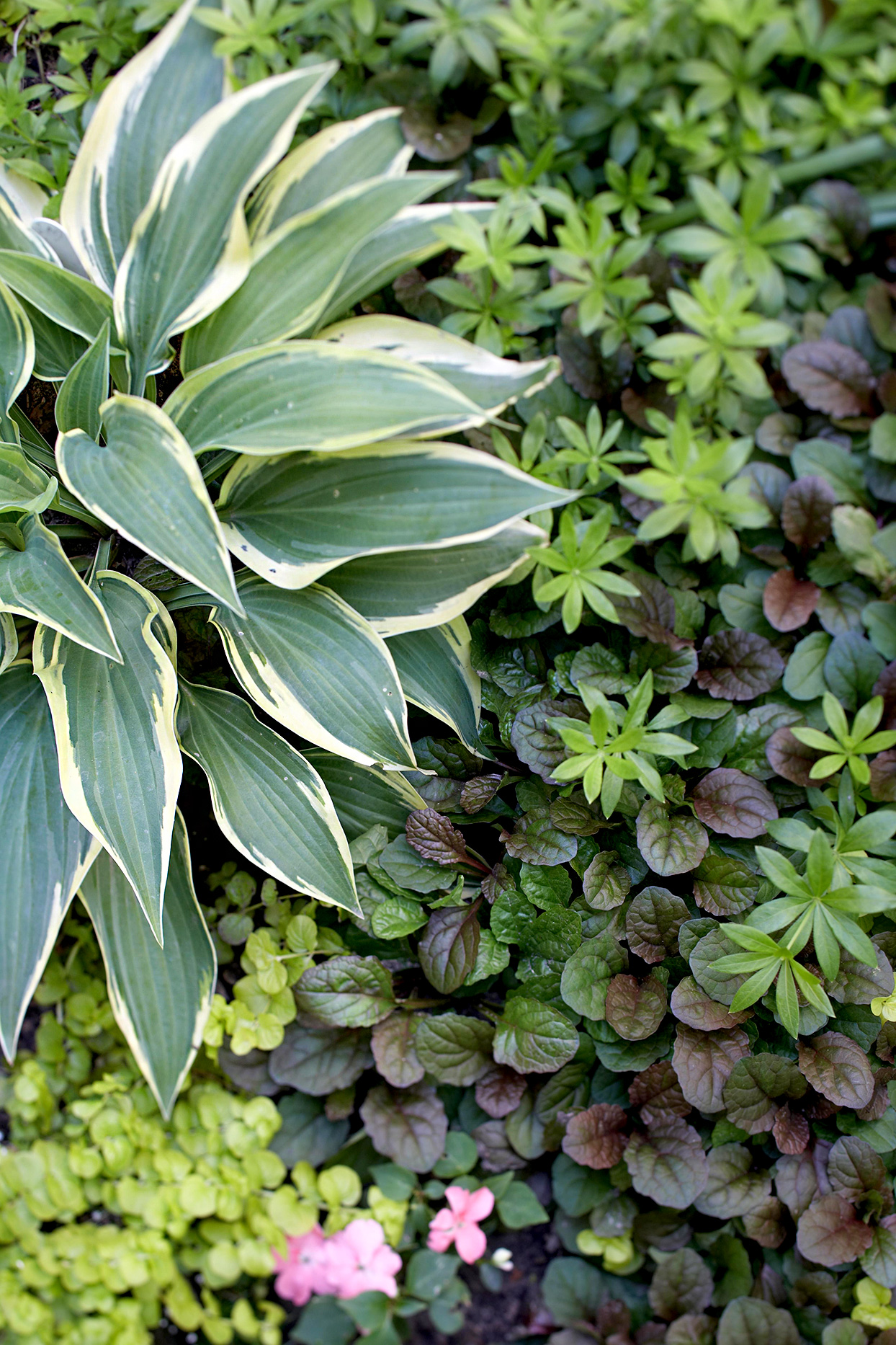 Wolverine Hosta with green leaves and white edges