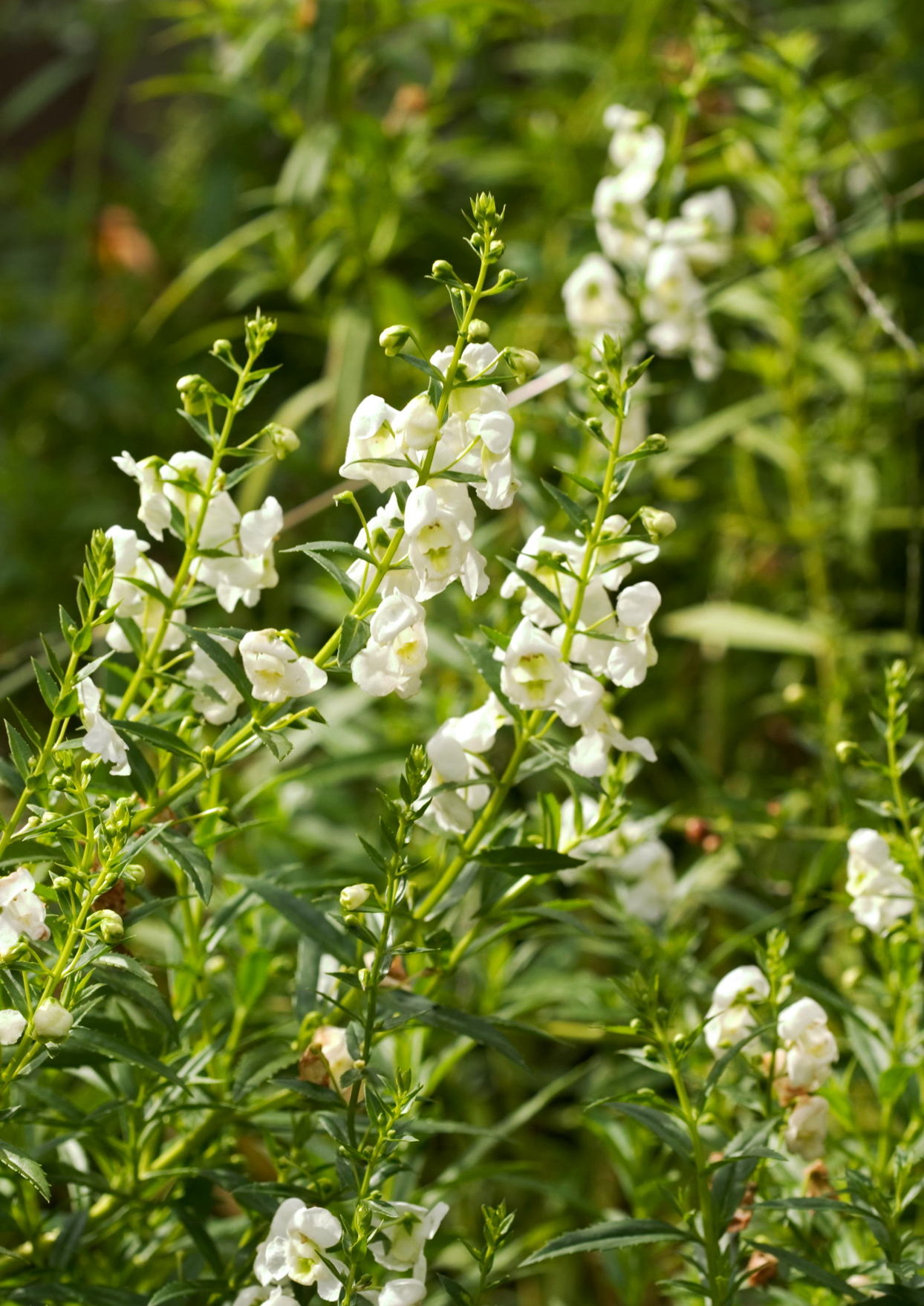 white angelonia blooms